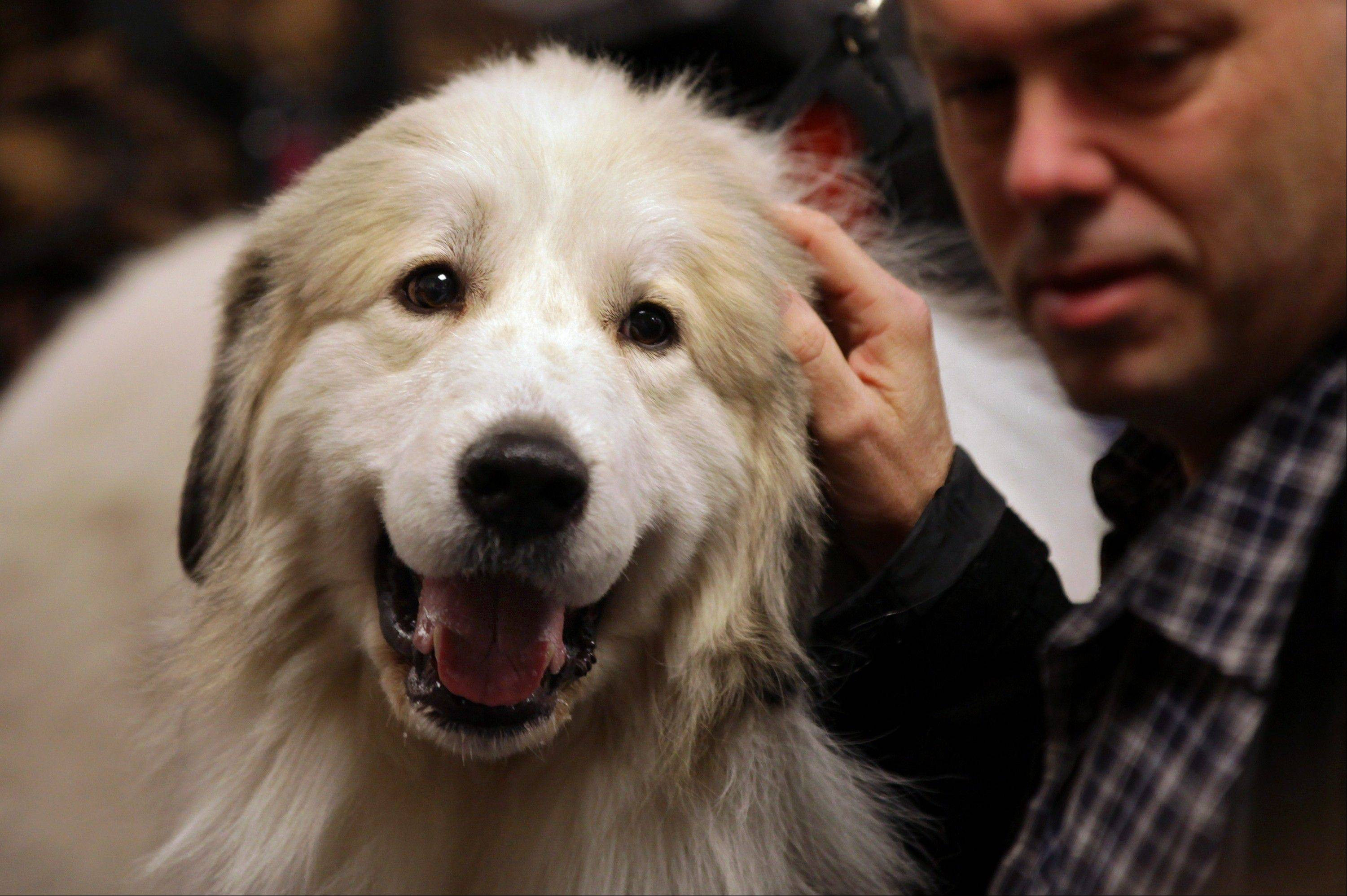 Bob Zeiss of New City, N.Y. pets Maxwell Smart, a great pyrenees from LeRoy, N.Y. in the backstage area.