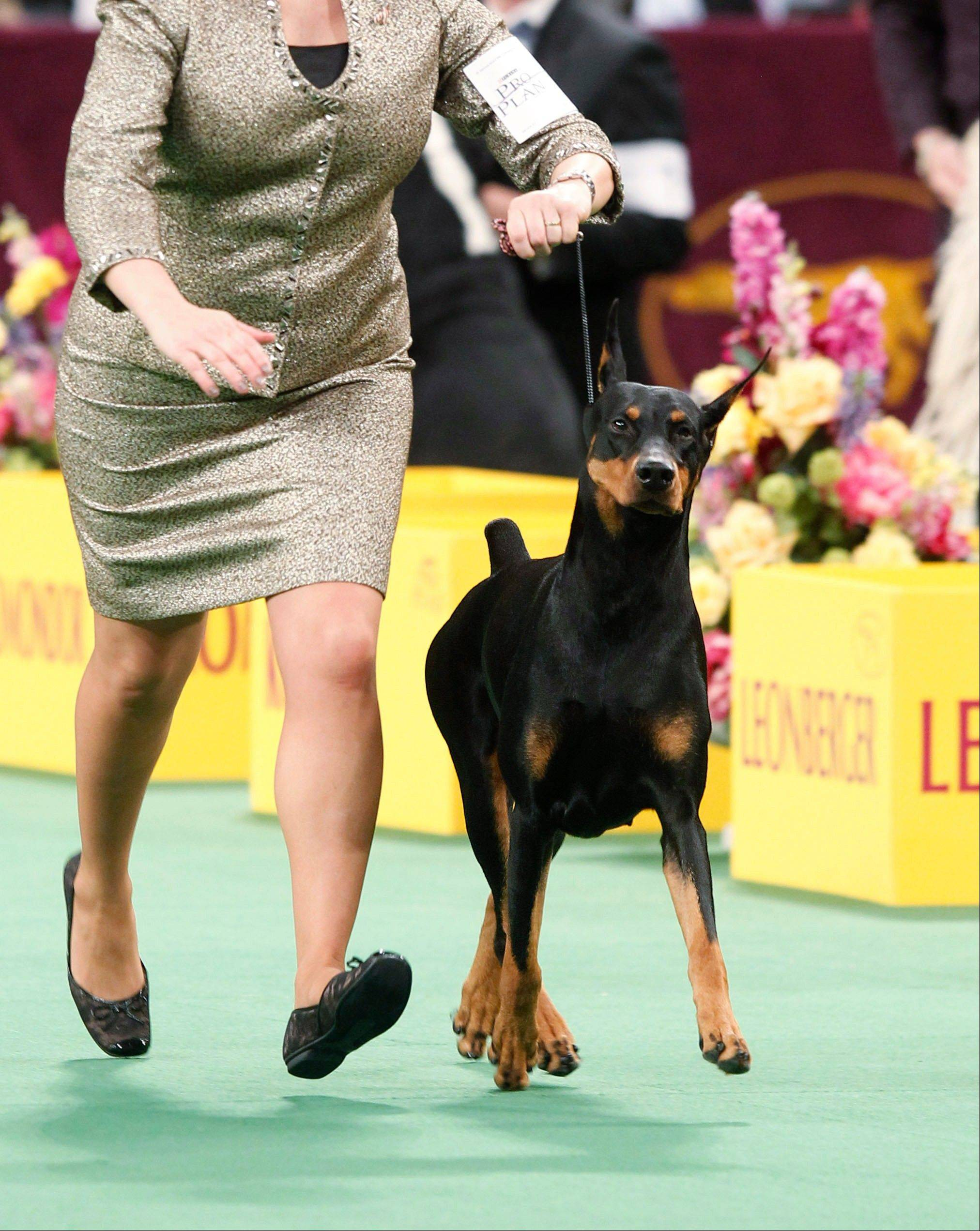 Veni Vidi Vici, a Doberman pinscher, competes in the working group, which she later won.
