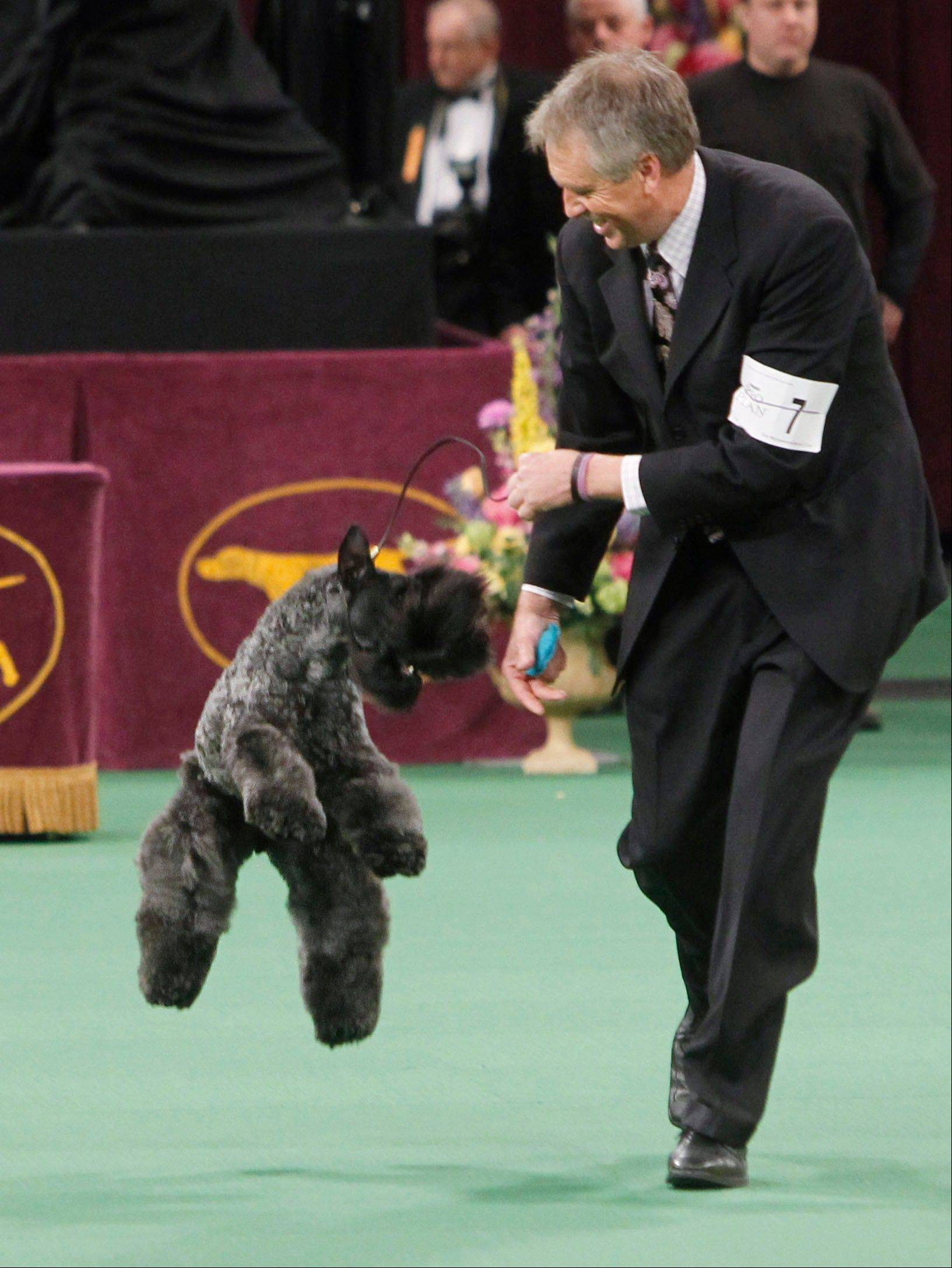 Chelsey, a Kerry blue terrier, jumps after being named winner of the terrier group.