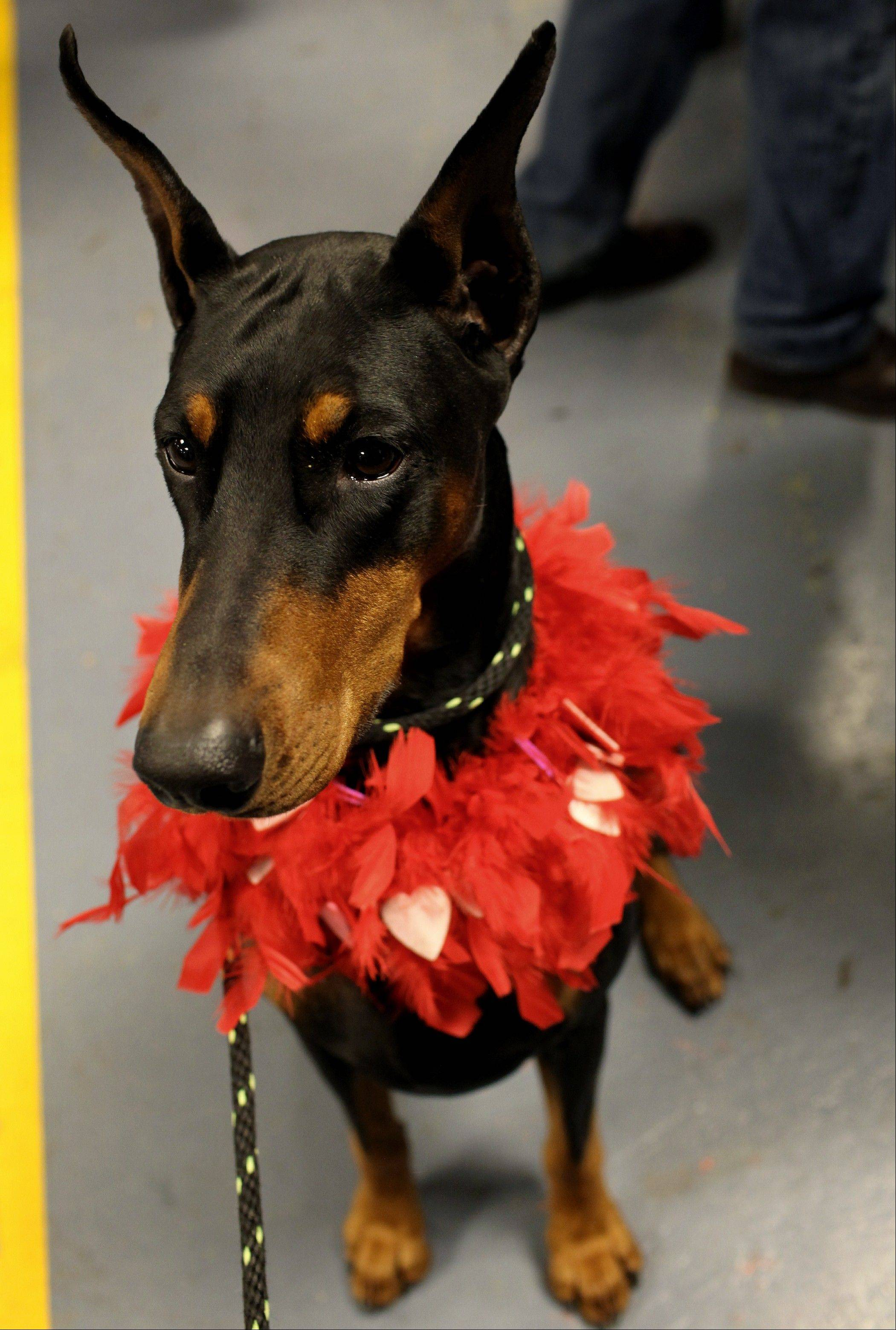 Mya, a doberman pinscher from Denton, Texas, wears Valentine's Day apparel in the backstage area.