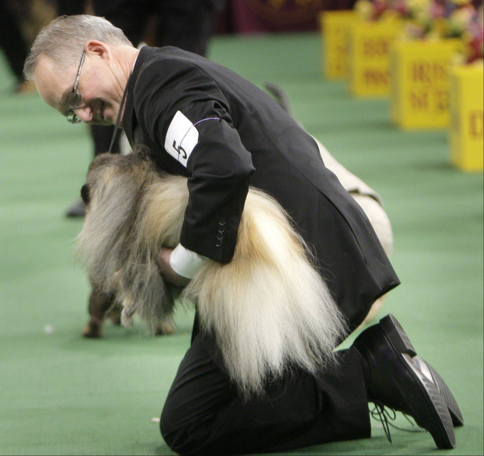 Handler David Fitzpatrick looks at Malachy, a Pekingese, after the animal was named best in show.