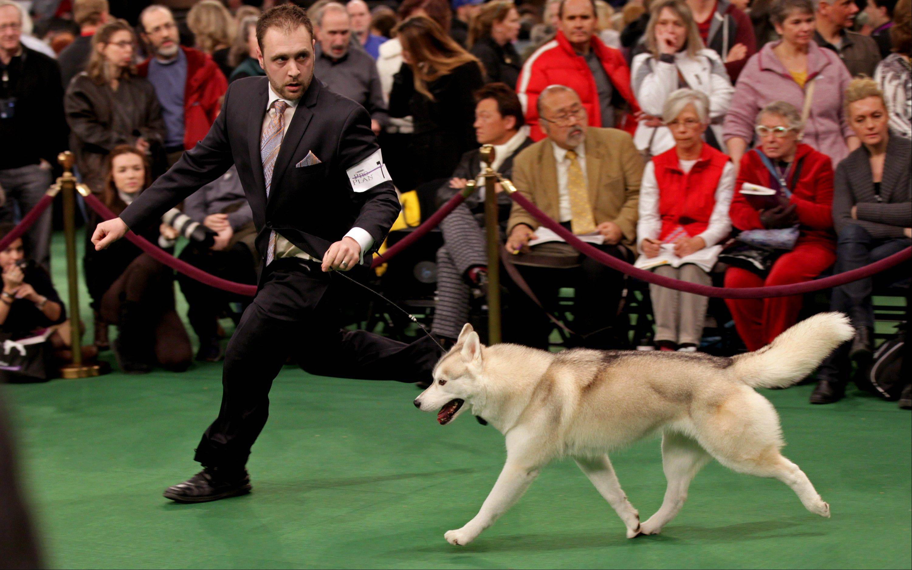 Handler Tim Terella of Fairview, Pa., runs in the ring with Winnie, a Siberian husky. Winnie received an award of merit in the competition.