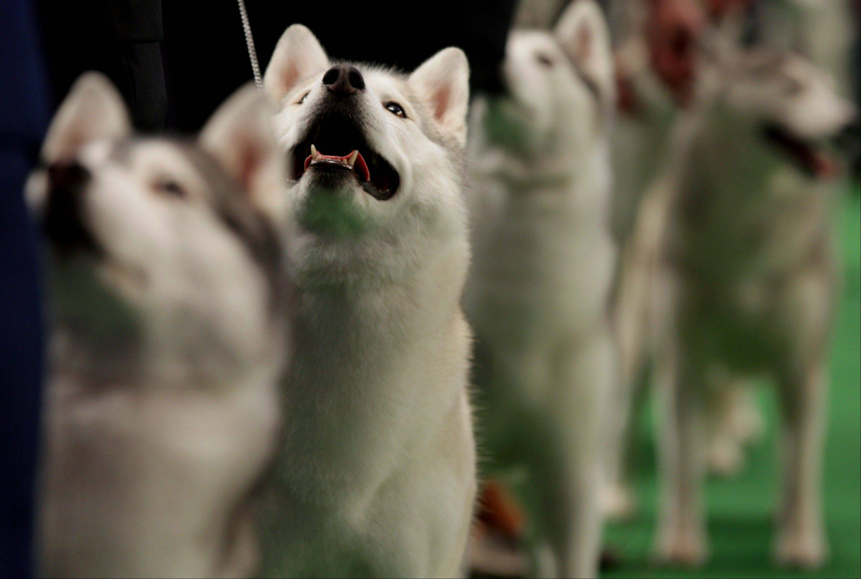Winnie, a Siberian husky, second from left, competes at the 136th annual Westminster Kennel Club dog show. Winnie received an award of merit in the competition.