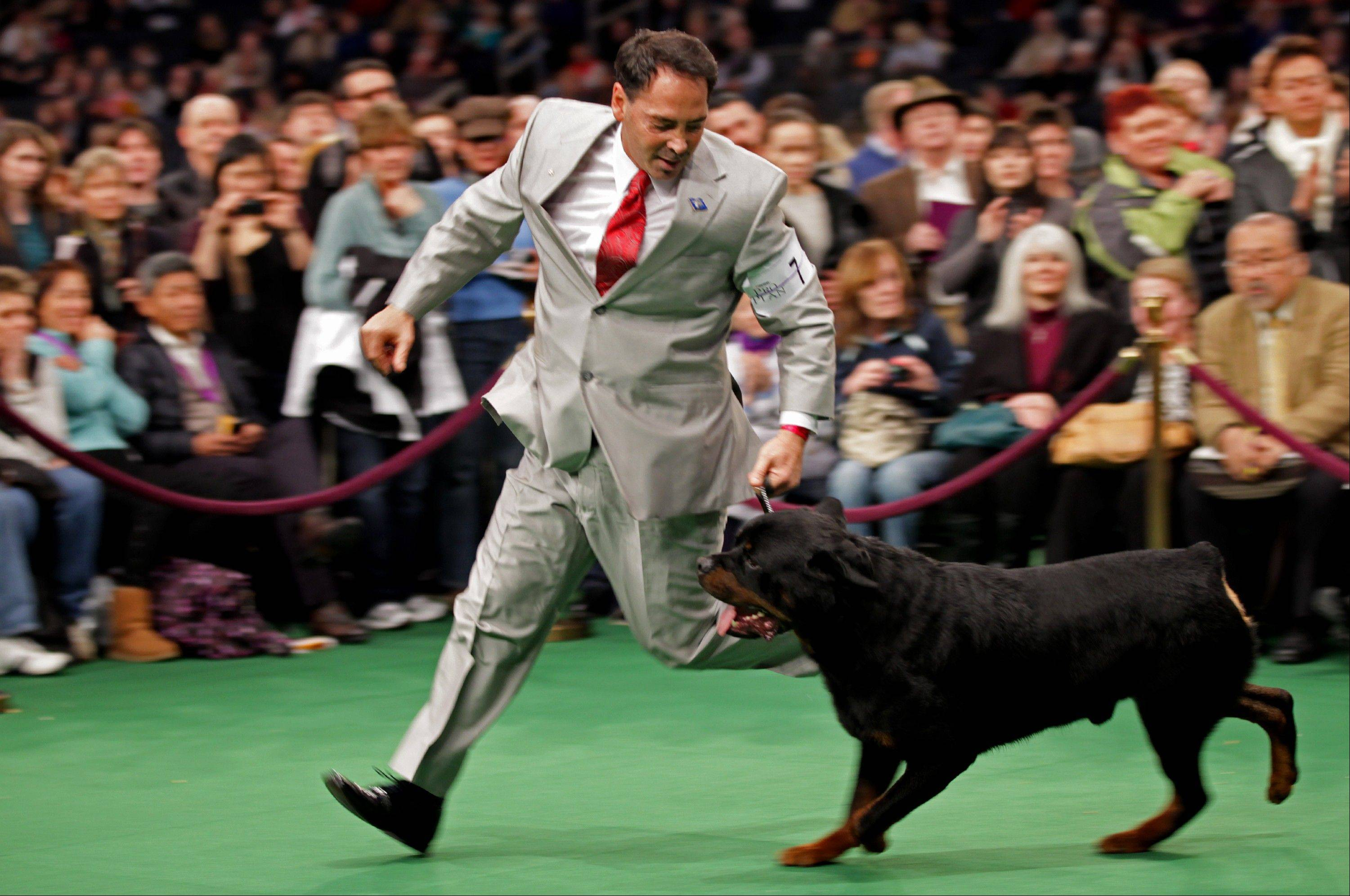 Perry Payson, of Bixby, Okla., handles Pilot, 3, a Rottweiler. Pilot won best of breed.
