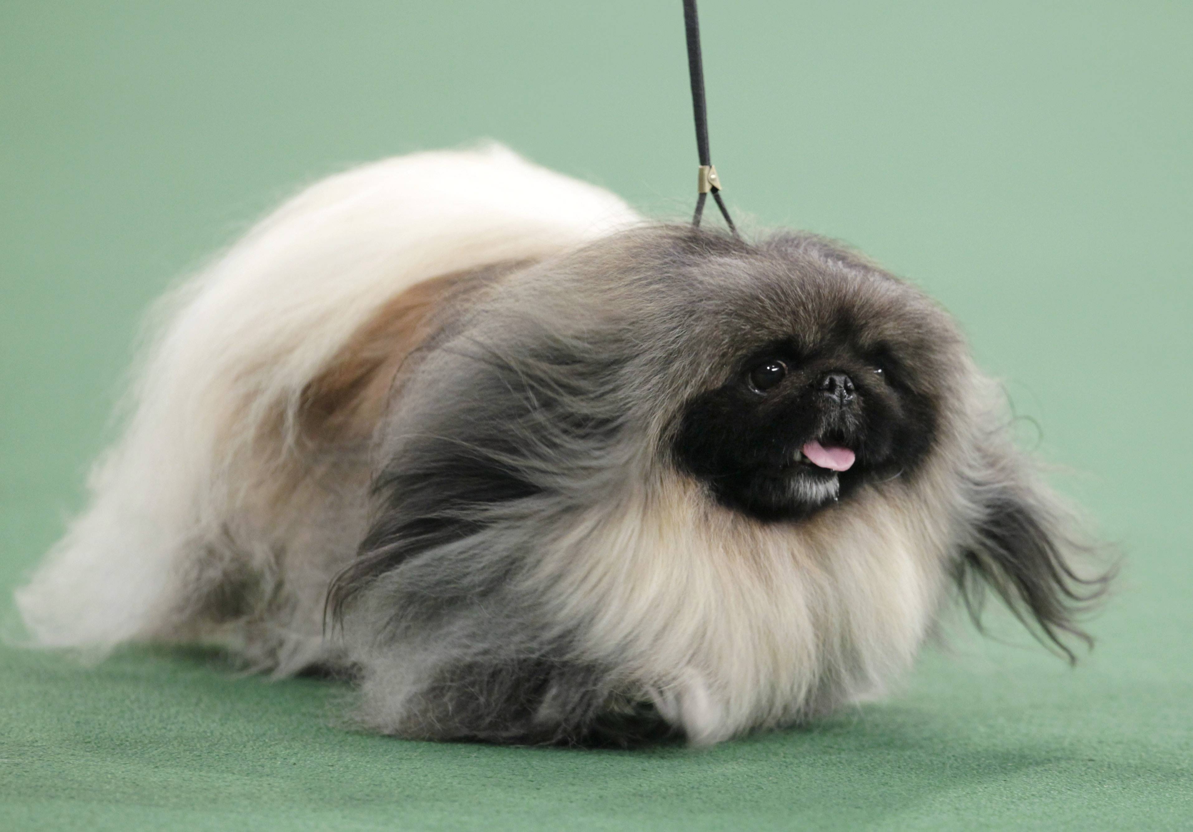 Malachy, a Pekingese, was named Best in Show at the Westminster dog show.