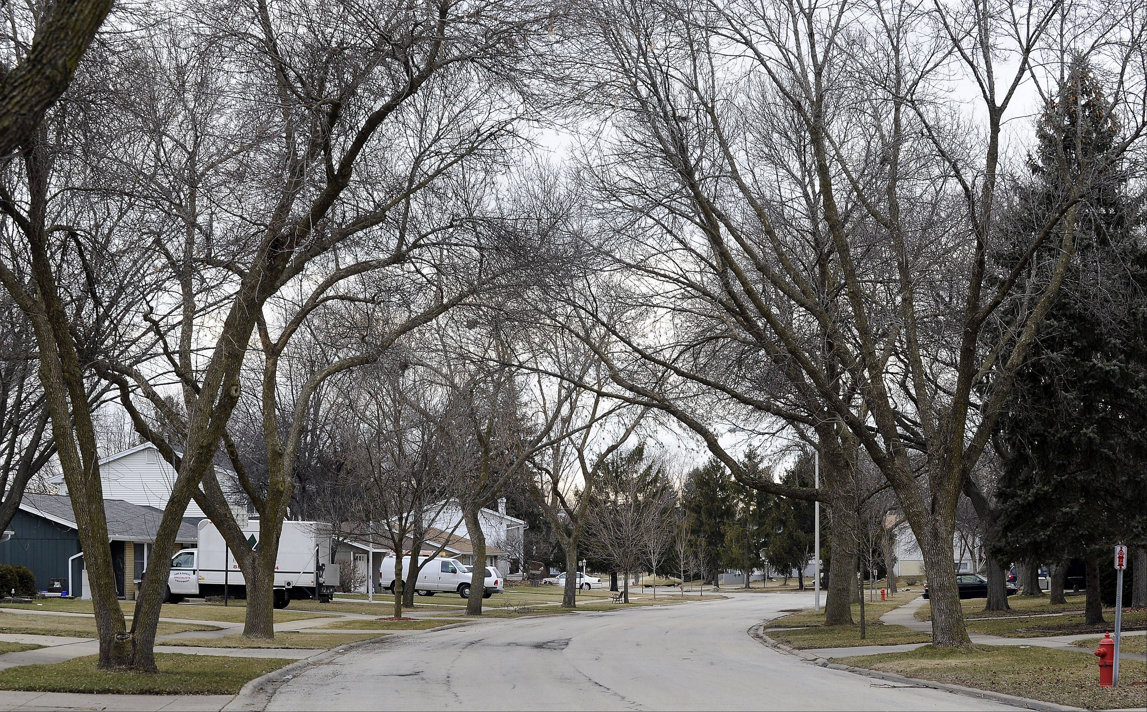 "Ash trees line Syracuse Lane in Schaumburg, which village officials label ""ground zero"" in their fight to contain the emerald ash borer."