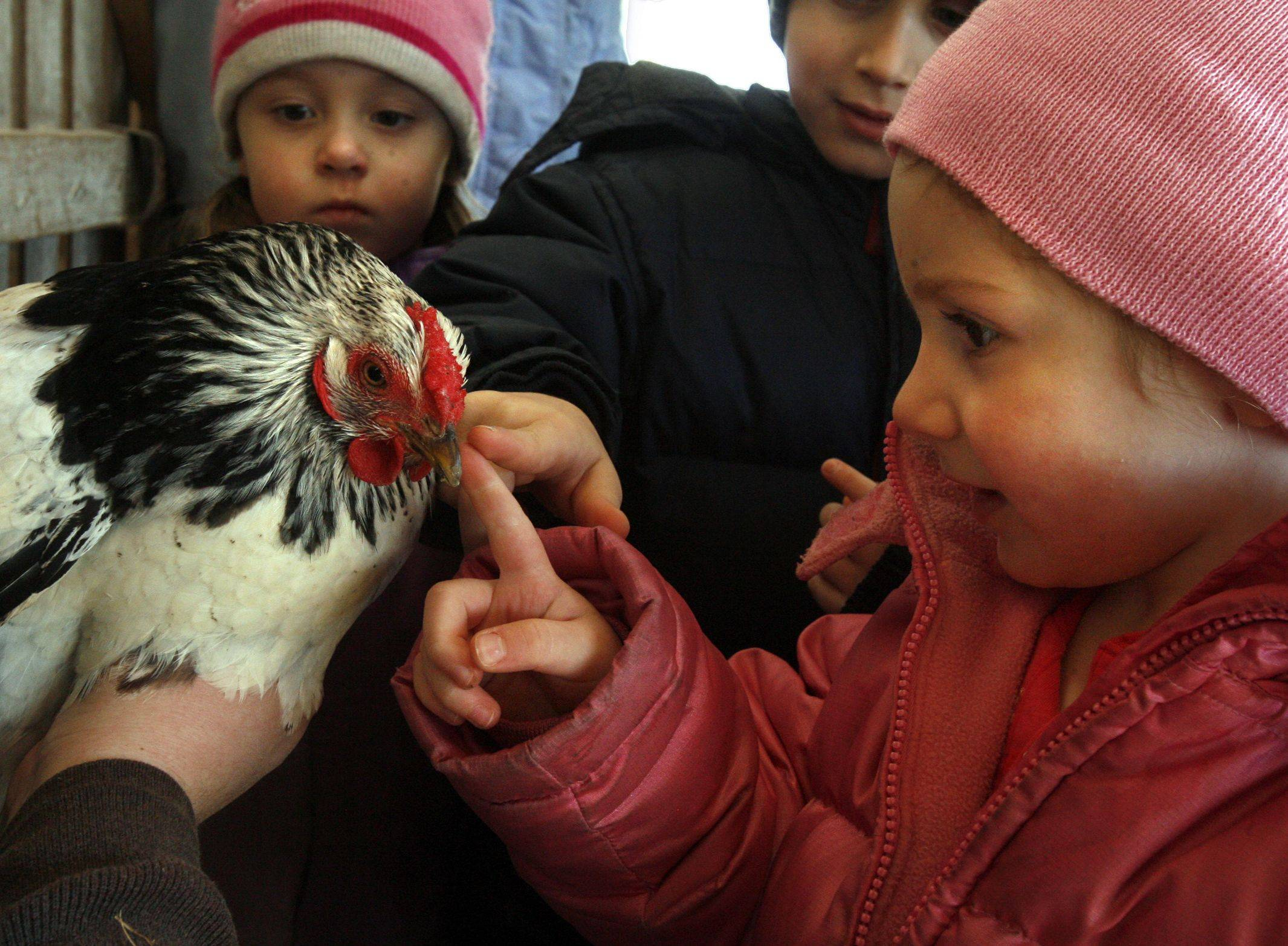 Tessa Muenz, 3, of St. Charles, touches a chicken during a hands-on tour and seminar Saturday at Primrose Farm in St. Charles.