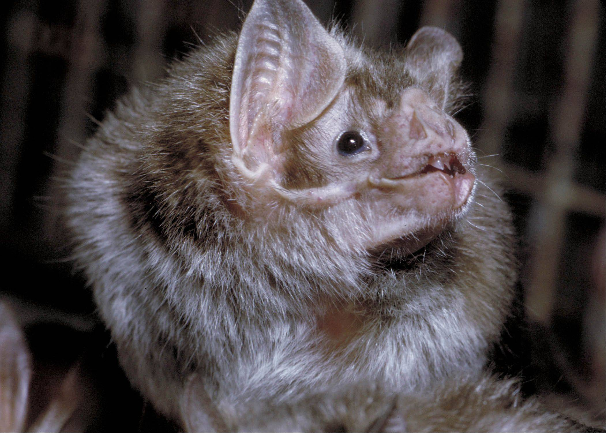 Bats came to be called vampire bats because the three species from South and Central America, discovered in the 1500s, survive on blood only.