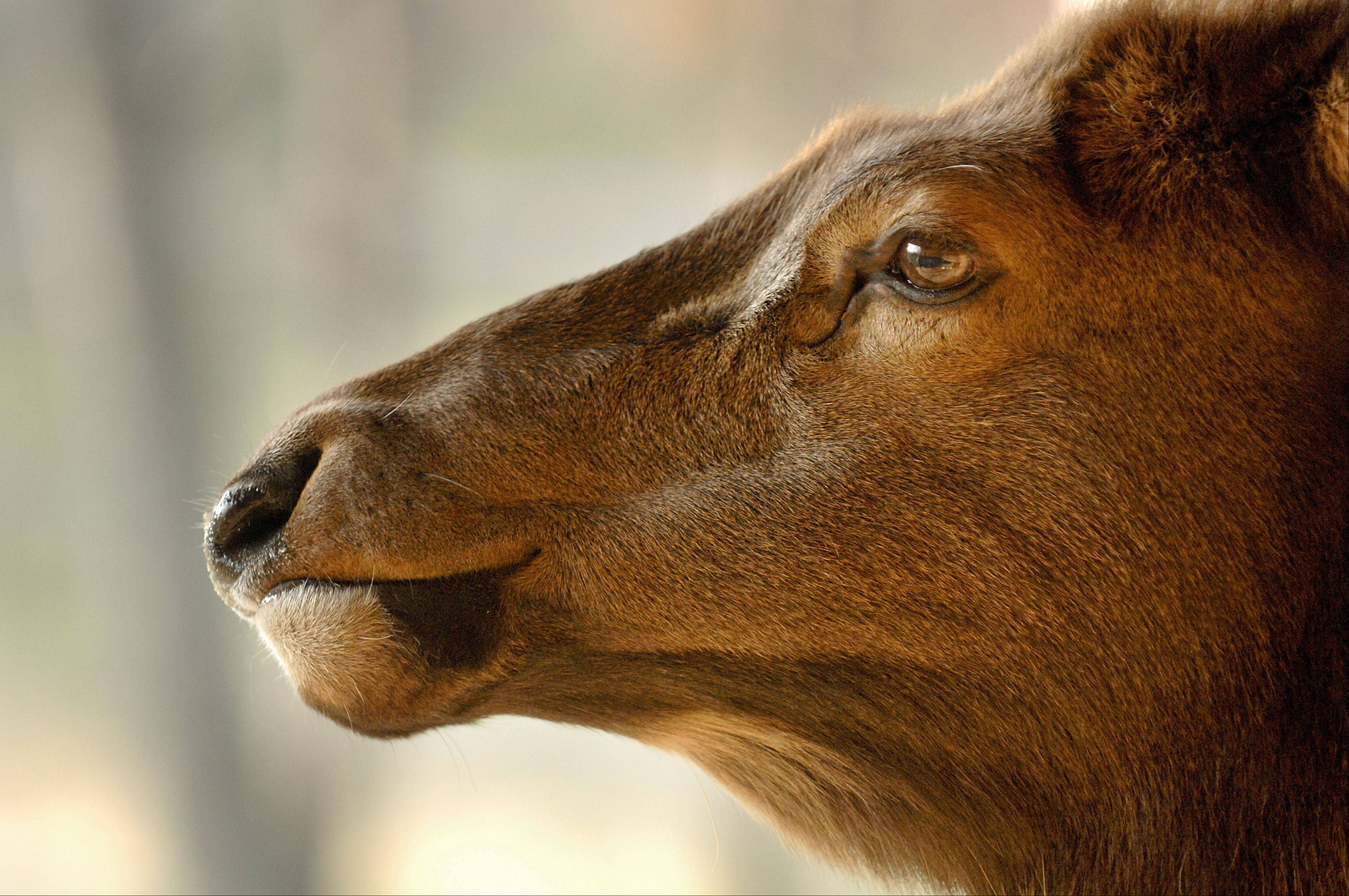 Get an up close look at the elk, bison and deer at Lords Park Zoo on Saturday, Feb. 25.