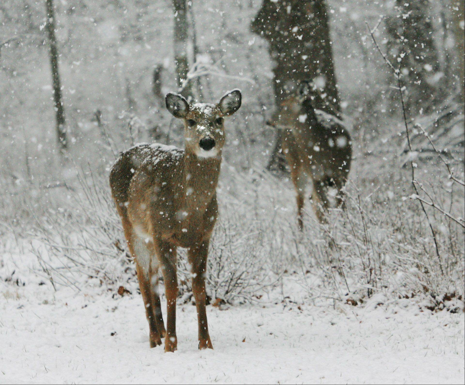 Deer walk through the woods in St. Mary of the Seminary in Mundelein during late-afternoon snow Thursday in Lake County.
