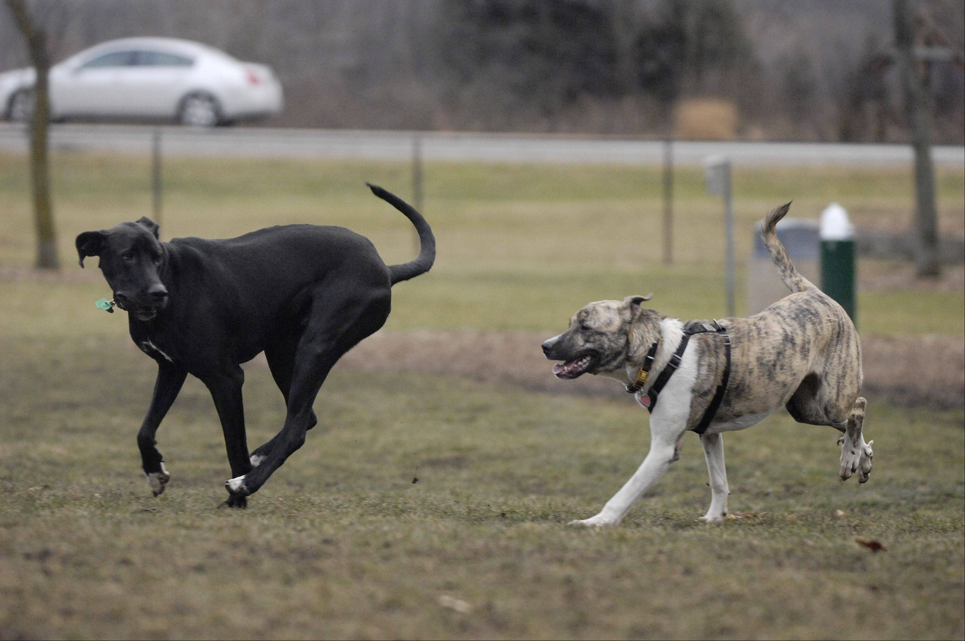 Dogs Reese and Lollee play at the Glen Ellyn Park District dog park. Hoffman Estates, Elk Grove Village, Des Plaines, Streamwood and Elgin all are talking about building new dog parks.