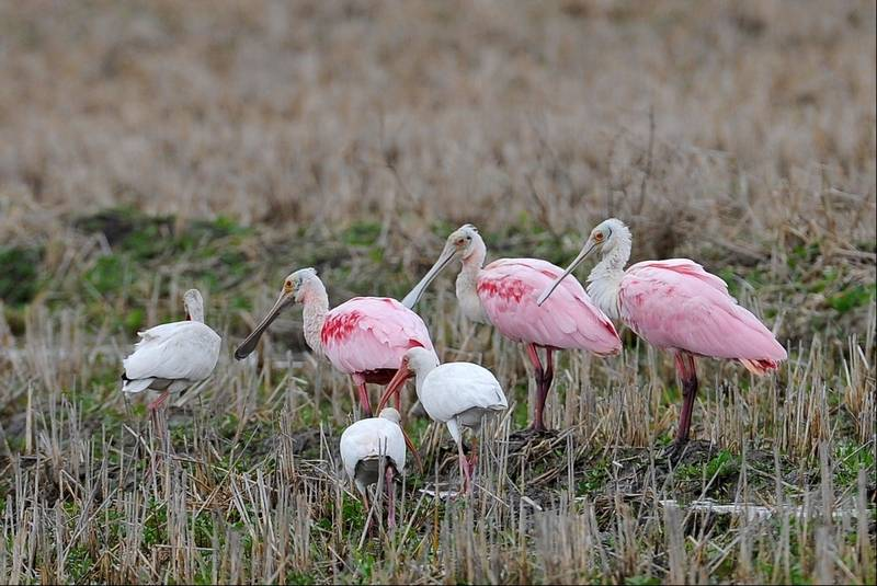 Texas drought twists migrations of many birds roseate spoonbills pink and white ibis graze in the reeds of mad island sciox Choice Image