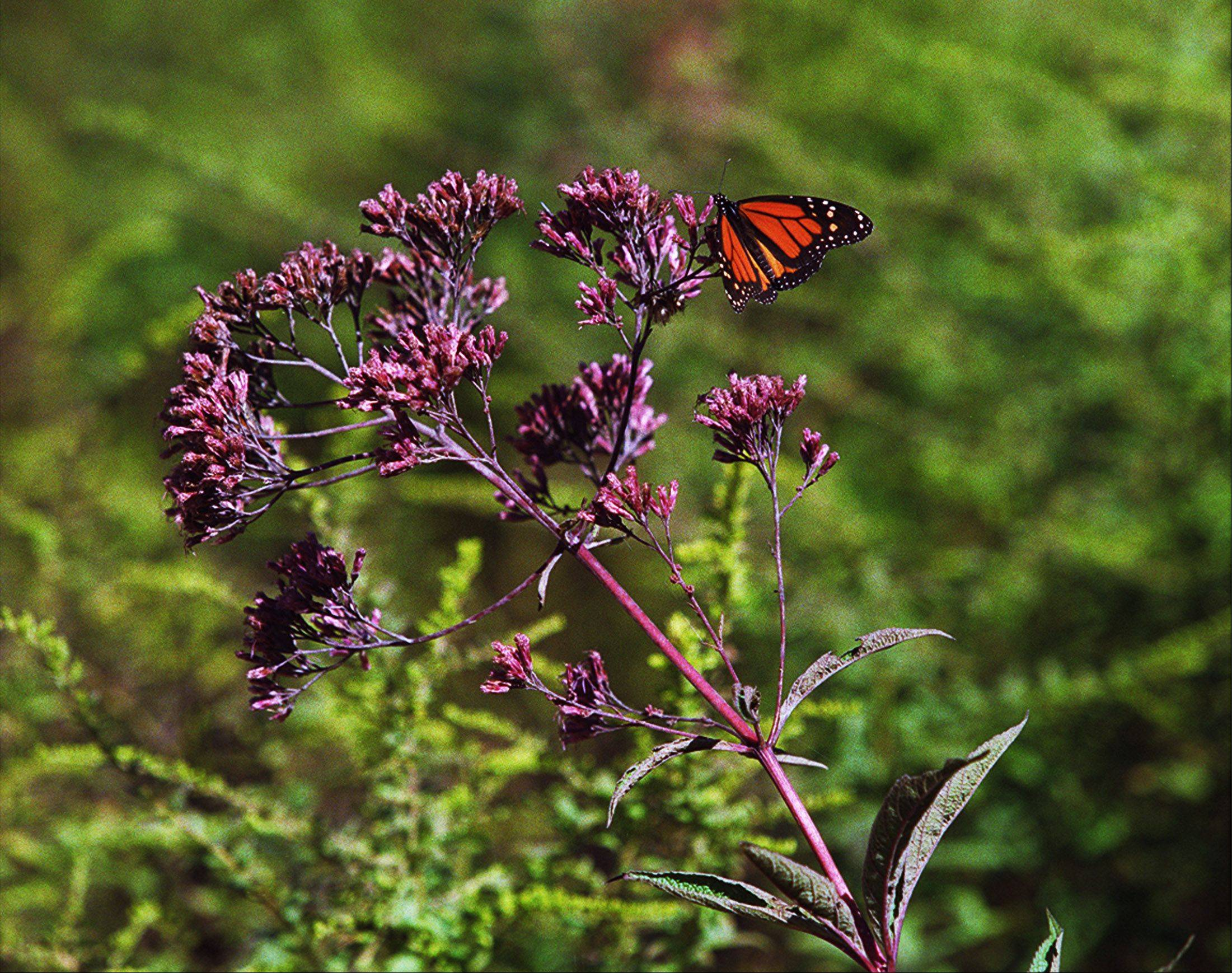 "Find out how to nurture native plants, such as the Joe Pye Weed, at the ""Bringing Nature Home"" film and discussion on Wednesday, March 28, at the Dundee Library."