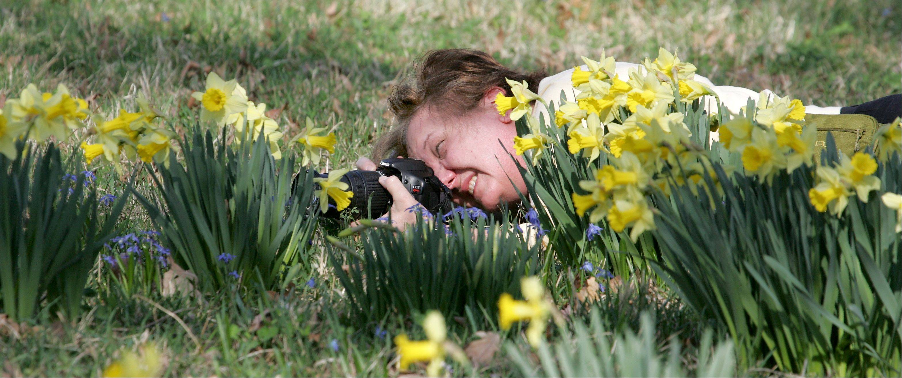Deb Bohentin of Elmhurst gets a low angle as she photographs the daffodils at the Morton Arboretum in Lisle.