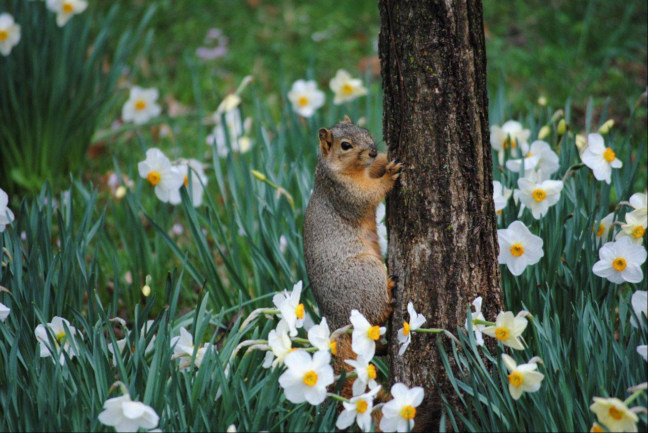 This squirrel was enjoying the daffodil glade at the Morton Arboretum.