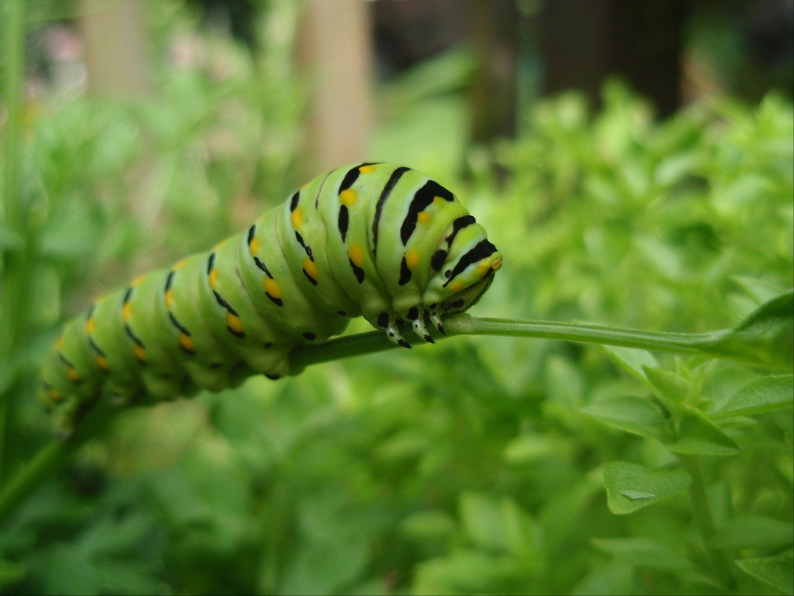 I took this photo last summer in my back yard. This caterpillar was enjoying helping itself to my basil plant. Reminds me a little of Alice in Wonderland.
