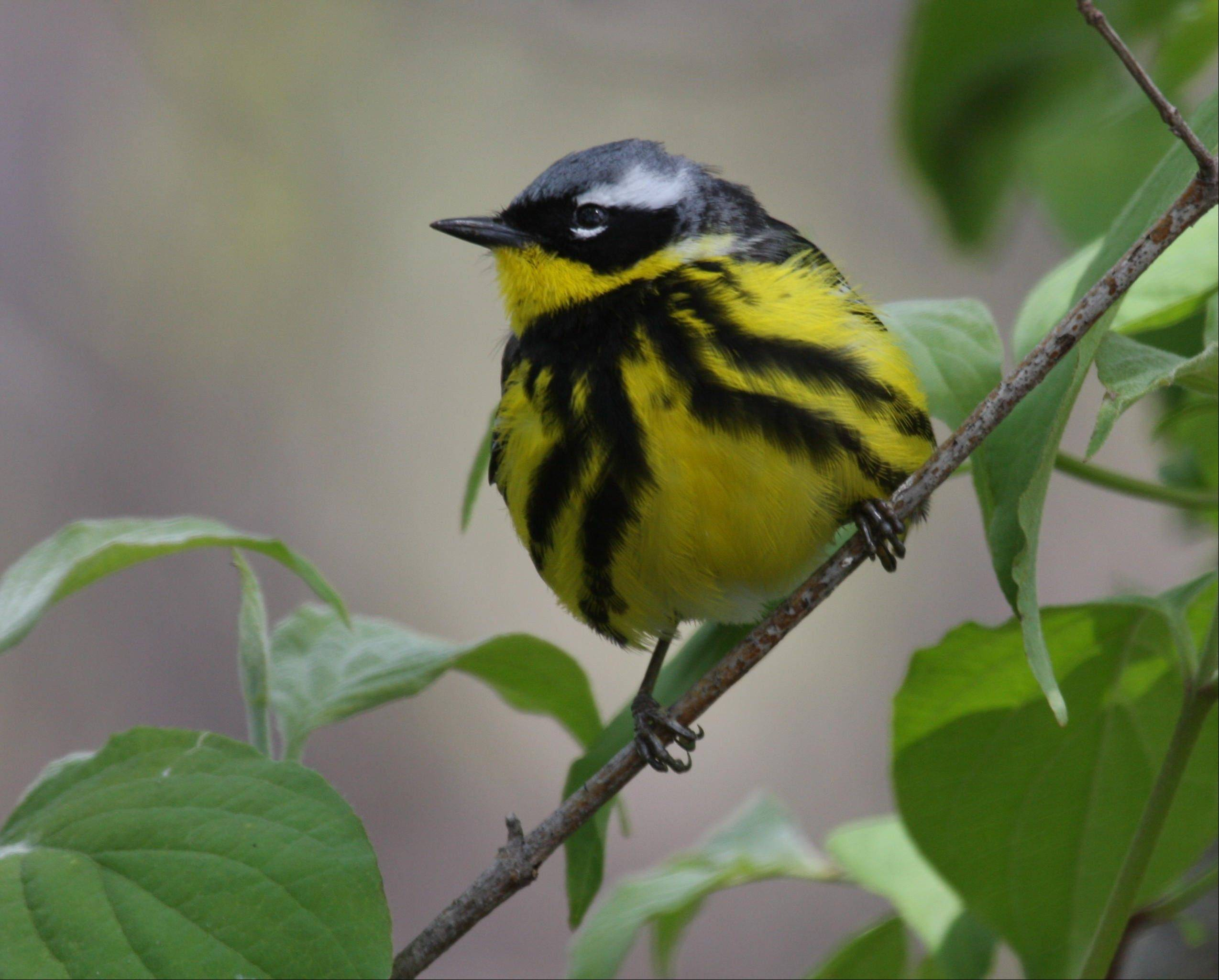Colorful migrants, like this magnolia warbler, are ticketed for early arrival this spring.