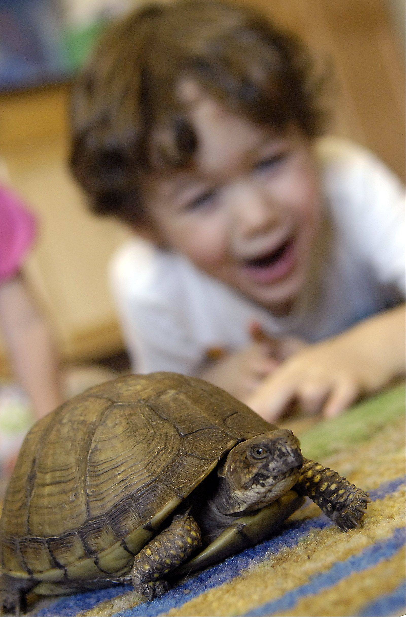Three-year-old Sam Shaw of St. Charles is all smiles as he watches a box turtle toddle across the floor at Hickory Knolls Discovery Center in St. Charles. In the wild, box turtles like this one assist in the spread of the May-apple plant when they eat the berries and disseminate seeds that pass through their digestive tracts.