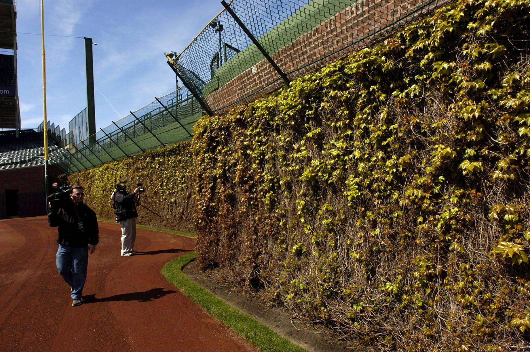 The Ivy is greening due to warm spring temps.