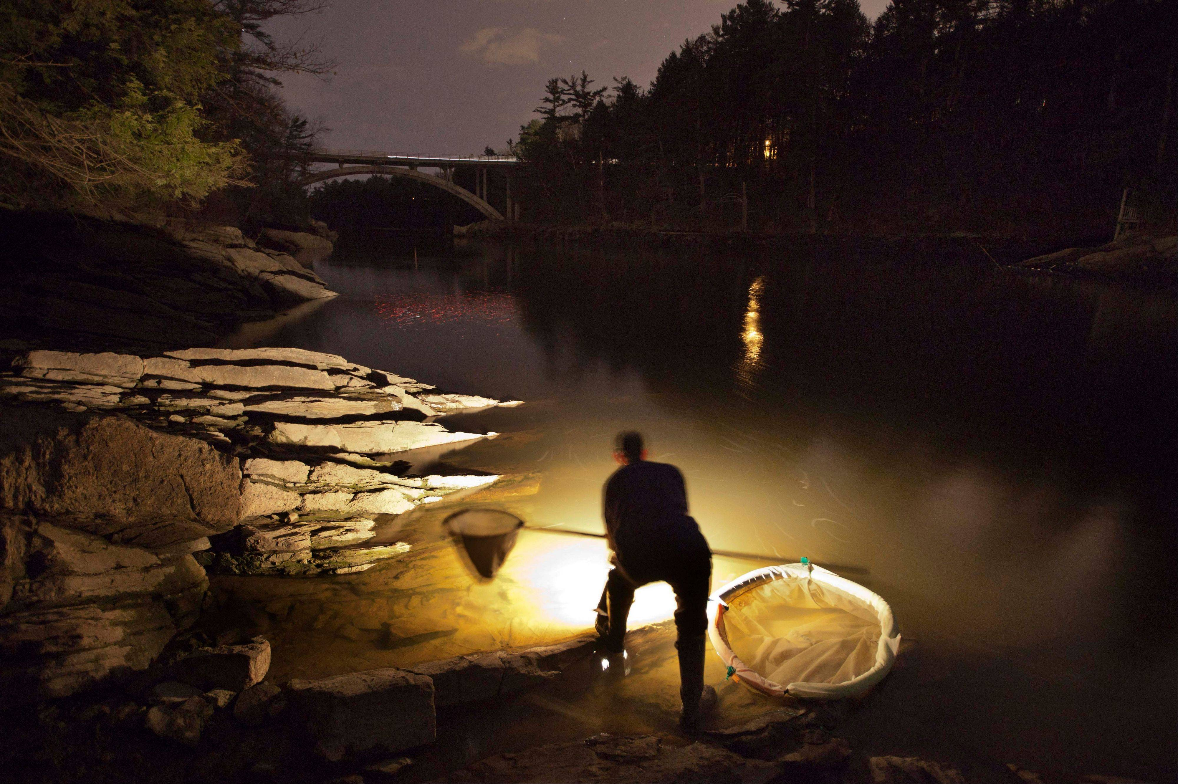Associated PressBruce Steeves uses a lantern while dip netting fort elvers on a river in southern Maine. The price of the eels has skyrocketed to unparalleled levels, with catches bringing up to $2,000 a pound.