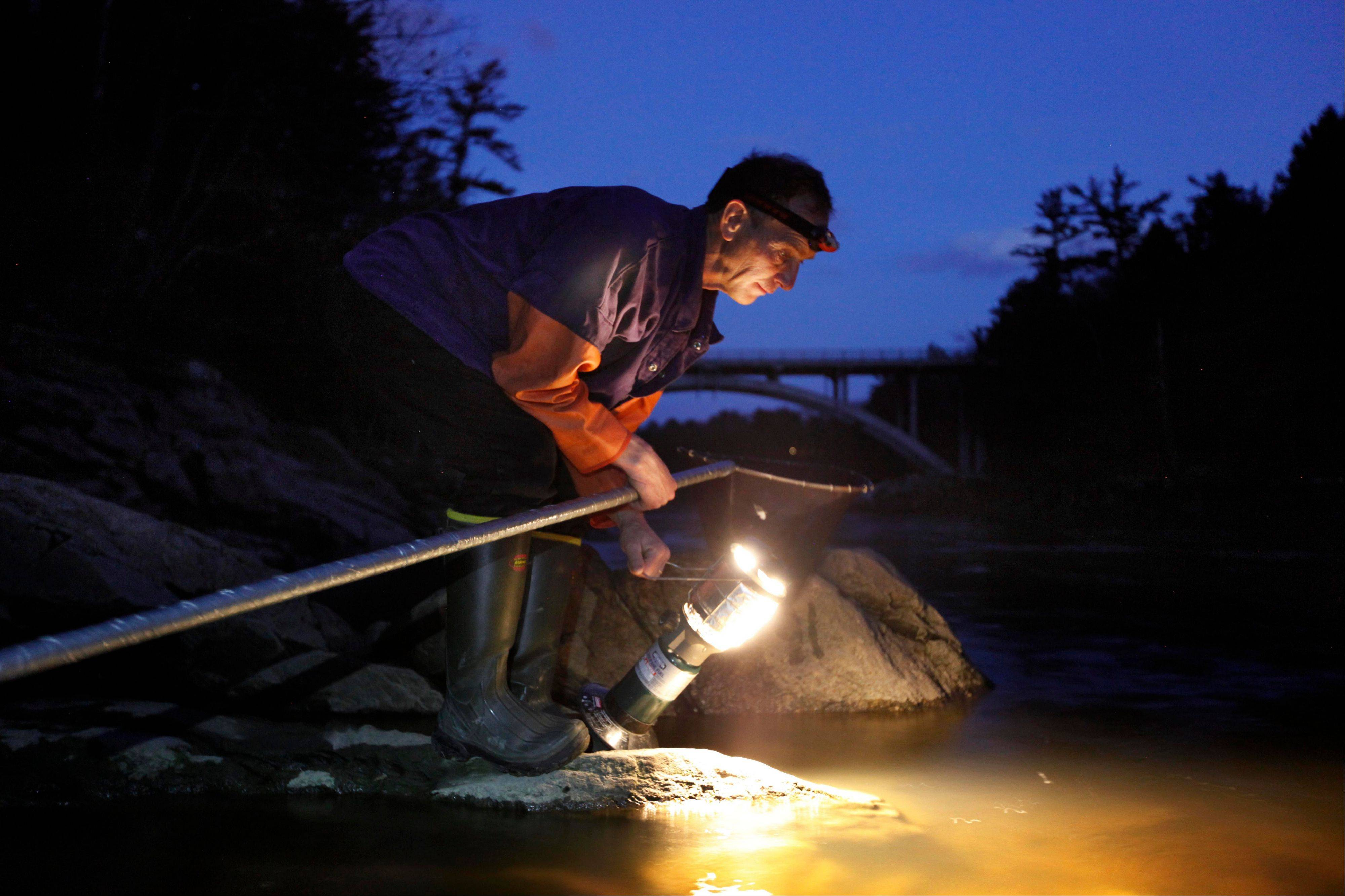Associated PressBruce Steeves uses a lantern while dip netting for elvers on a river in southern Maine. The price of the eels has skyrocketed to unparalleled levels, with catches bringing up to $2,000 a pound.