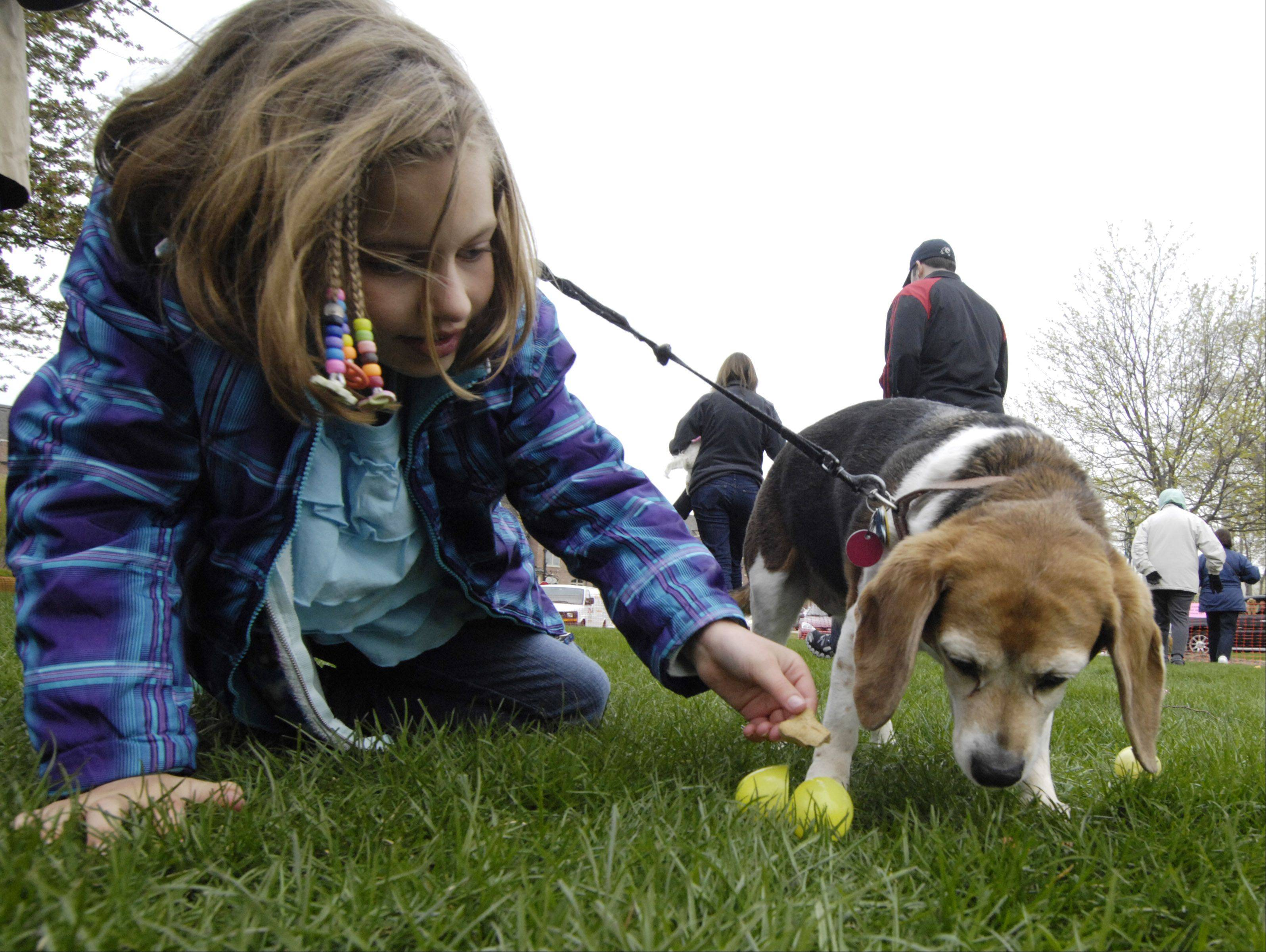 "Haley Ferguson, 7, of Mt. Prospect helps her beagle, ""Francie"" find a treat during an Easter egg hunt for dogs at Towne Square Park in Palatine Saturday."