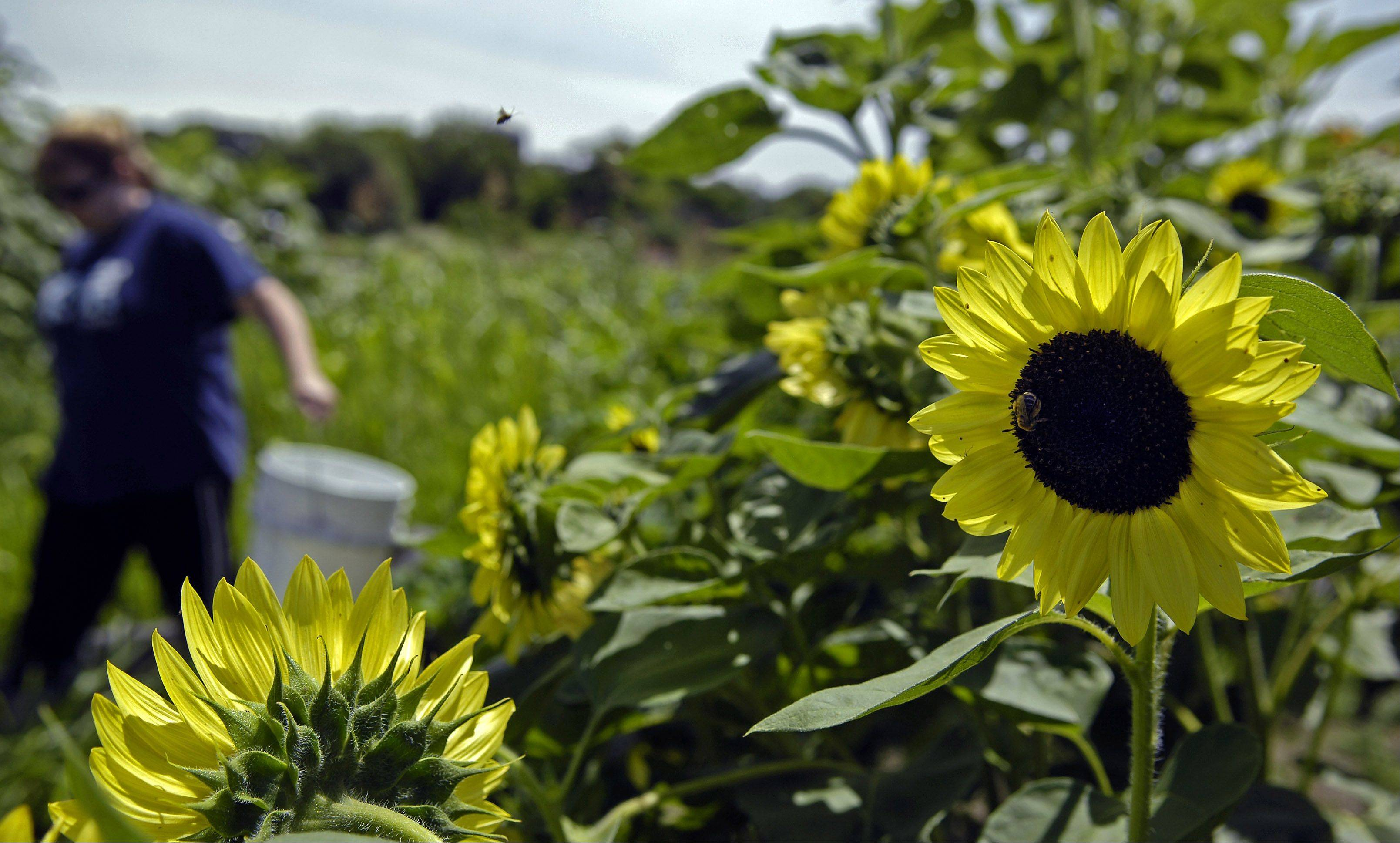 Bees buzz around Angela Banbury's sunflowers as she hauls water to her plot at the community gardens at Primrose Farm Park in St. Charles. Geneva's own community garden is set to open soon.