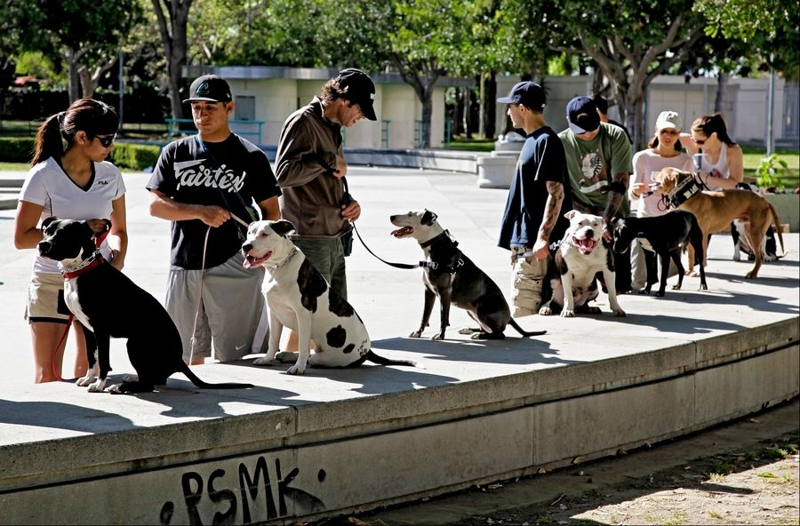 "Students prepare for a training and obedience class for pit bulls led by Cornelius ""Dog Man"" Austin, not pictured, at the Coliseum in downtown Los Angeles."