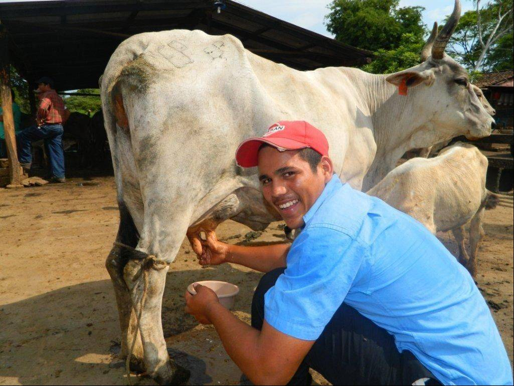 A farmer is stripping the cow, or checking for mastitis, prior to milking at a facility in Nicaragua. It's part of a program under Carpentersville-based Venture/Dairy, founded by Trevor Tomkins.