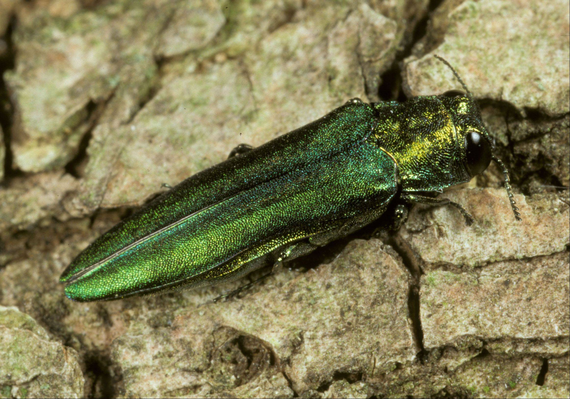 Photo courtesy of University of Illinois entomology Professor James Appleby. A closer look at the emerald ash borer, which is responsible for destroying ash trees.