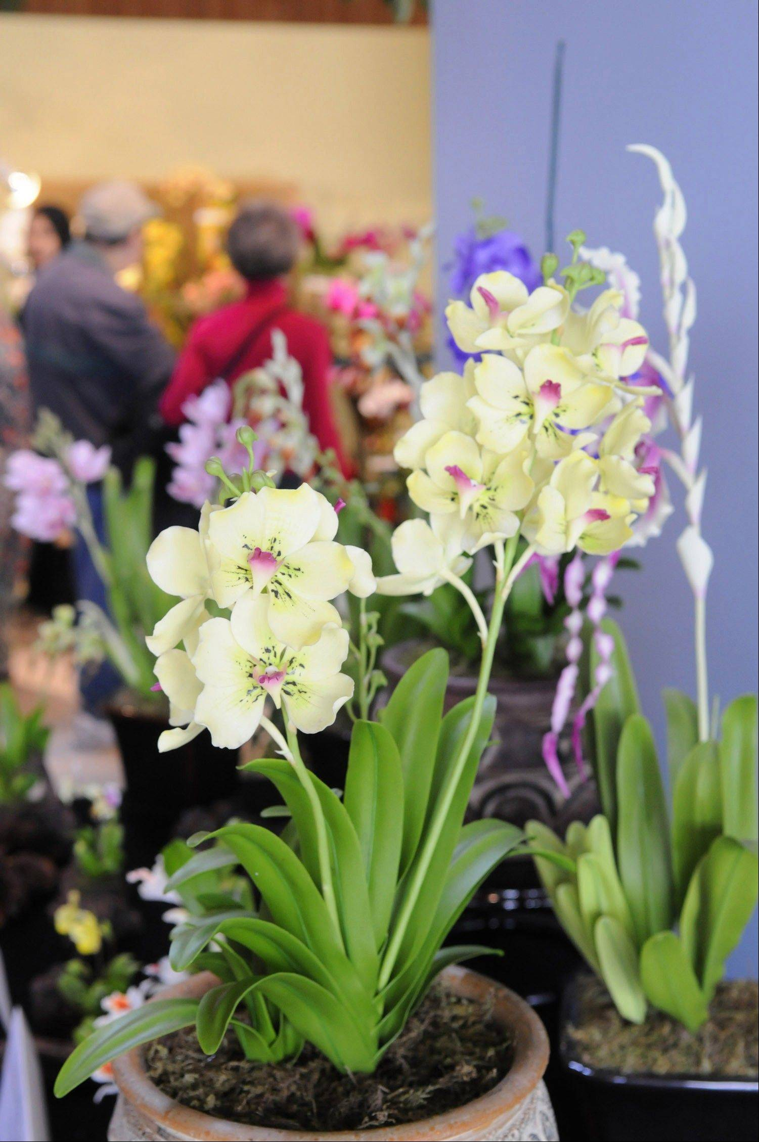 "The Illinois Orchid Society presents their 60th anniversary show called ""Celebrate Orchids"" at the Chicago Botanic Garden in Glencoe on Saturday and Sunday, April 28-29."