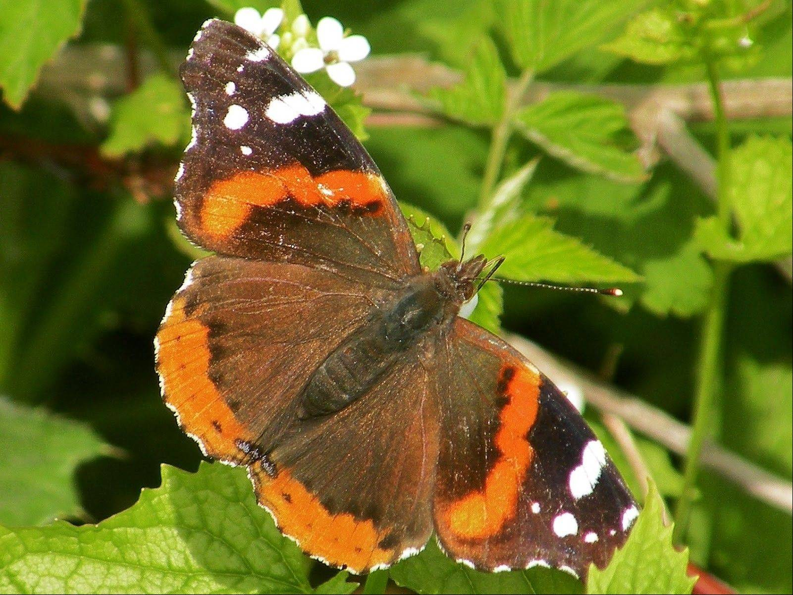 A population boom has the suburbs awash in a sea of Red Admiral butterflies. Butterfly expert Doug Taron, a steward of the Bluff Spring Fen in Elgin, estimates that the population is 10 times higher than in most years.