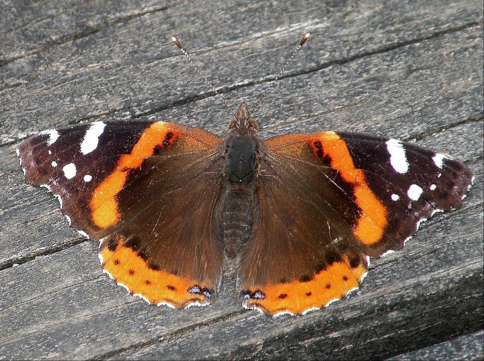 This common Red Admiral butterfly is much more common than normal this spring. Butterfly expert Doug Taron, a steward of the Bluff Spring Fen in Elgin, estimates that the population is 10 times higher than in most years.