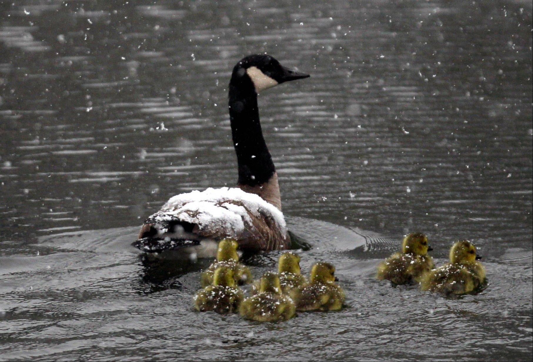 Canada geese and goslings travel in a spring snow in Pembroke, N.Y., Monday, April 23, 2012.