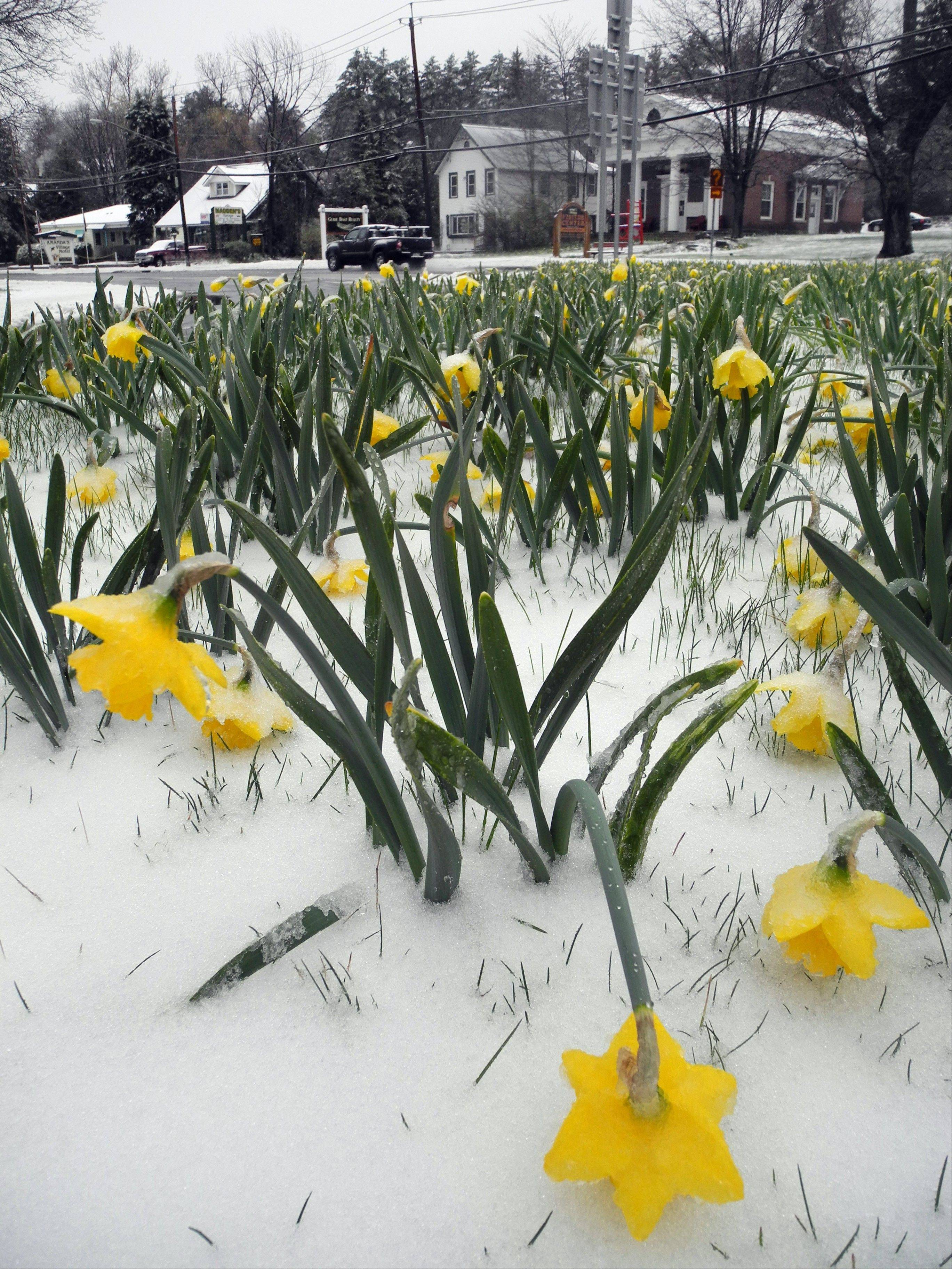Snow blankets daffodils in Saranac Lake, N.Y., Monday morning, April 23, 2012. A spring nor'easter packing soaking rain and high winds churned up the Northeast Monday morning, unleashing a burst of winter and up to a foot of snow in higher elevations inland, closing some schools and sparking concerns of power outages. A Daffest is scheduled for this coming weekend in Saranac Lake where daffodils blooming all over the village were beaten down by slushy snow.