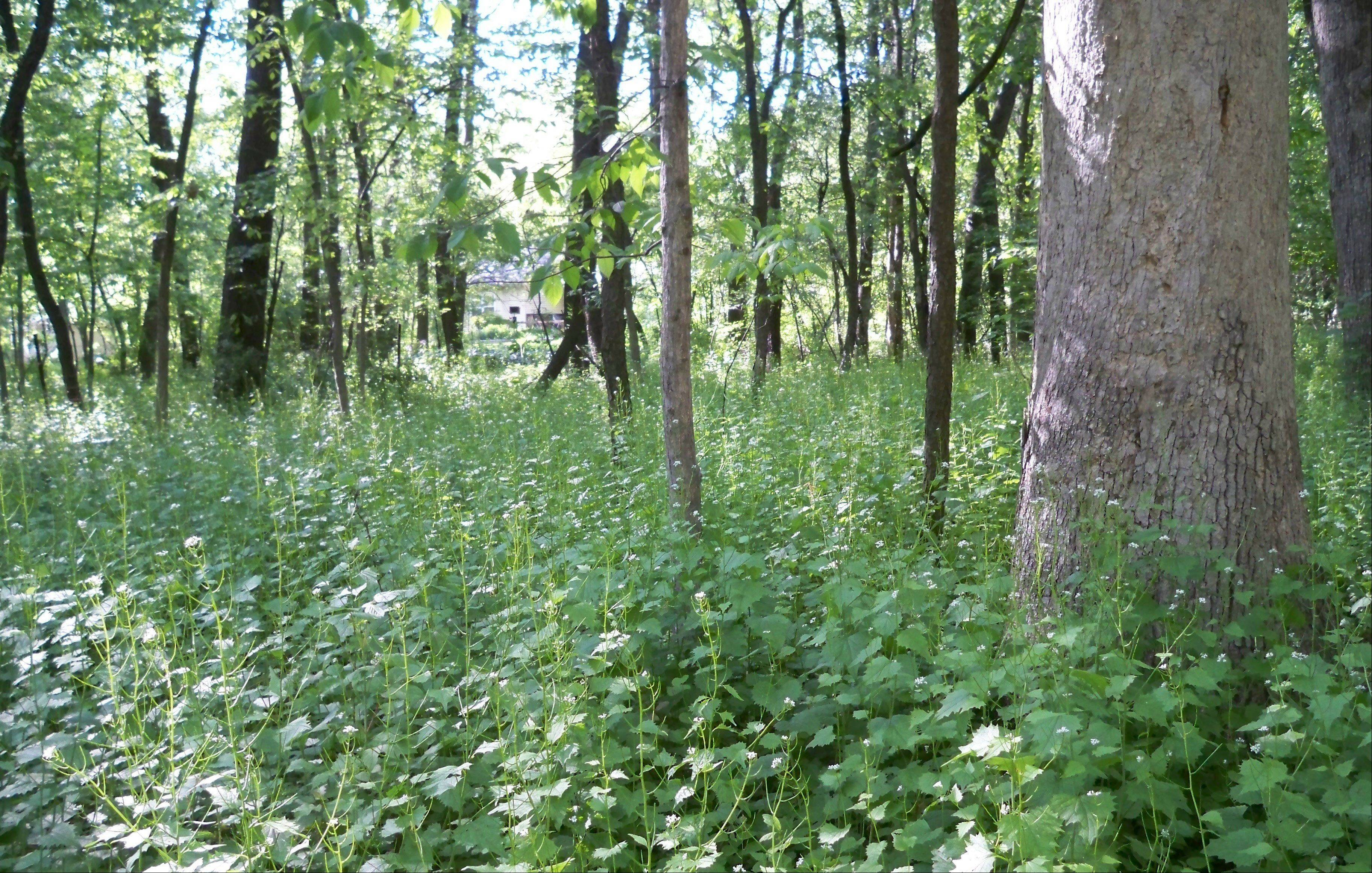 Garlic mustard takes over entire woodlands to the exclusion of native wildflowers that once thrived here. It is very difficult to get rid of.
