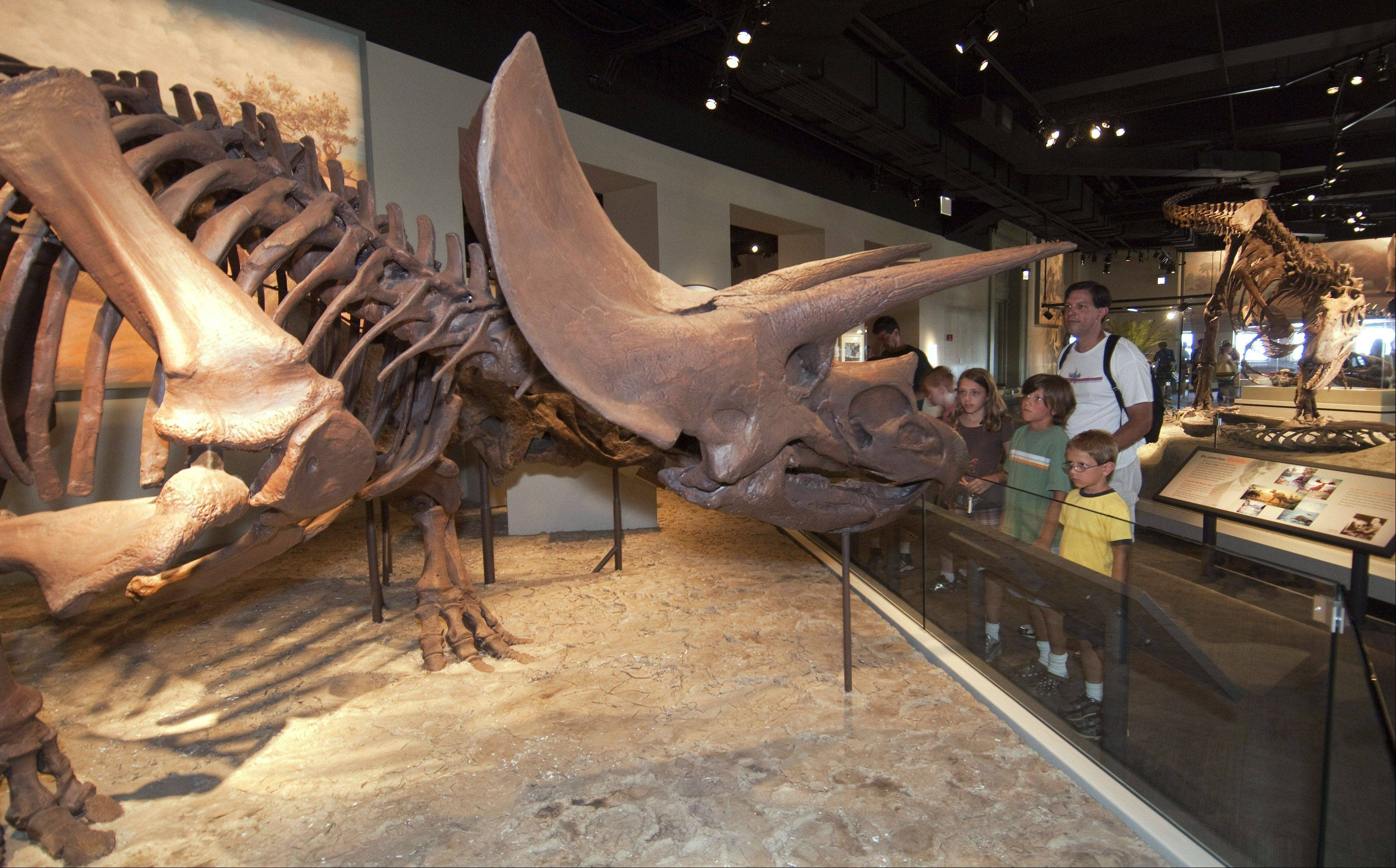 "Triceratops, a plant-eating dinosaur that ranged in size from 30 inches to 30 feet, is on display at the Field Museum's ""Evolving Planet"" exhibit. Most Triceratops fossils were discovered in the Western United States and Canada, A real fossil of a Triceratops skull can be found next to the full body replica."