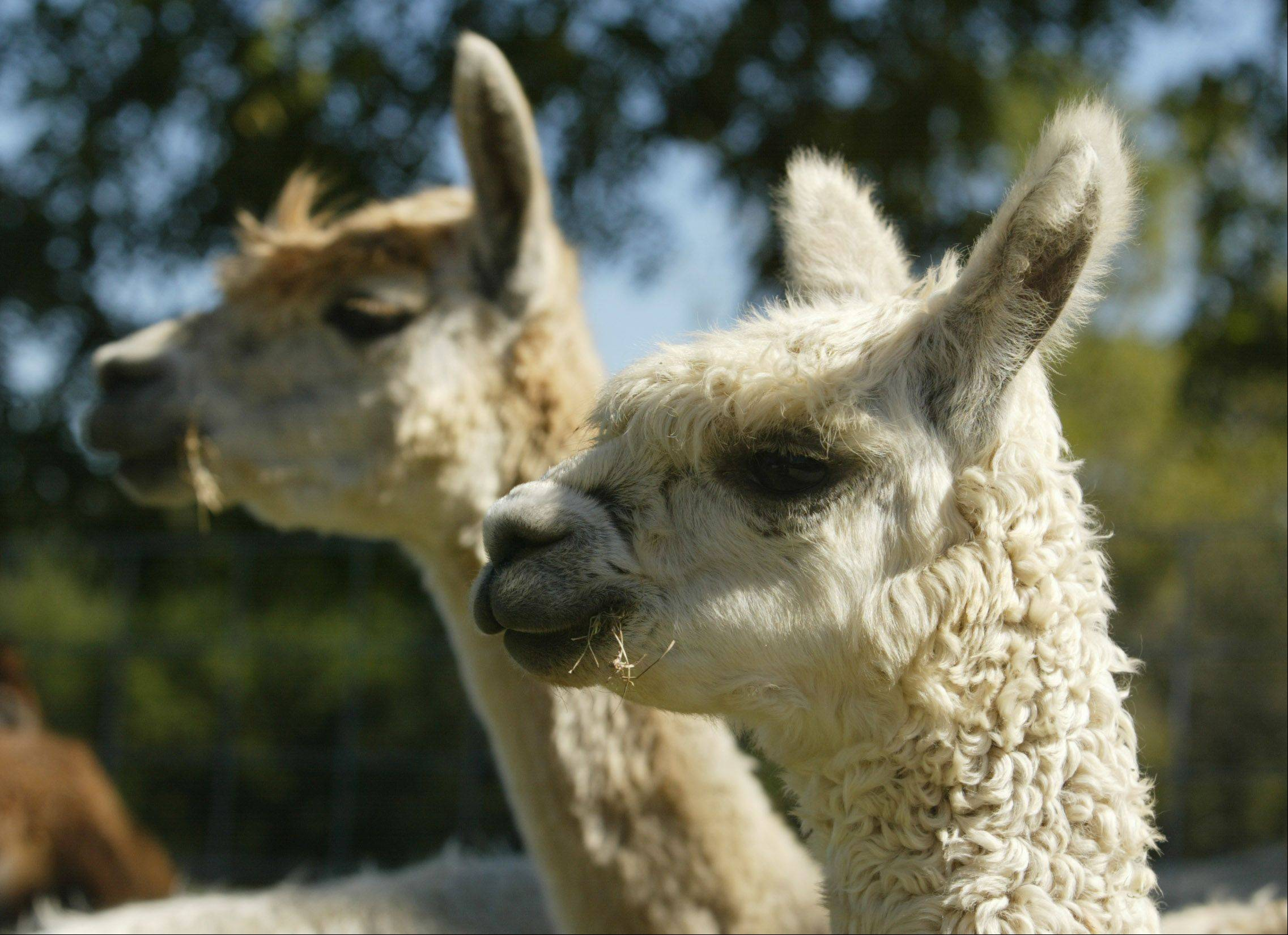 Alpacas on the Waldron farm enjoy a cool, sunny day in Campton Hills. Susan Waldron said alpacas graze on grass as part of their diet.