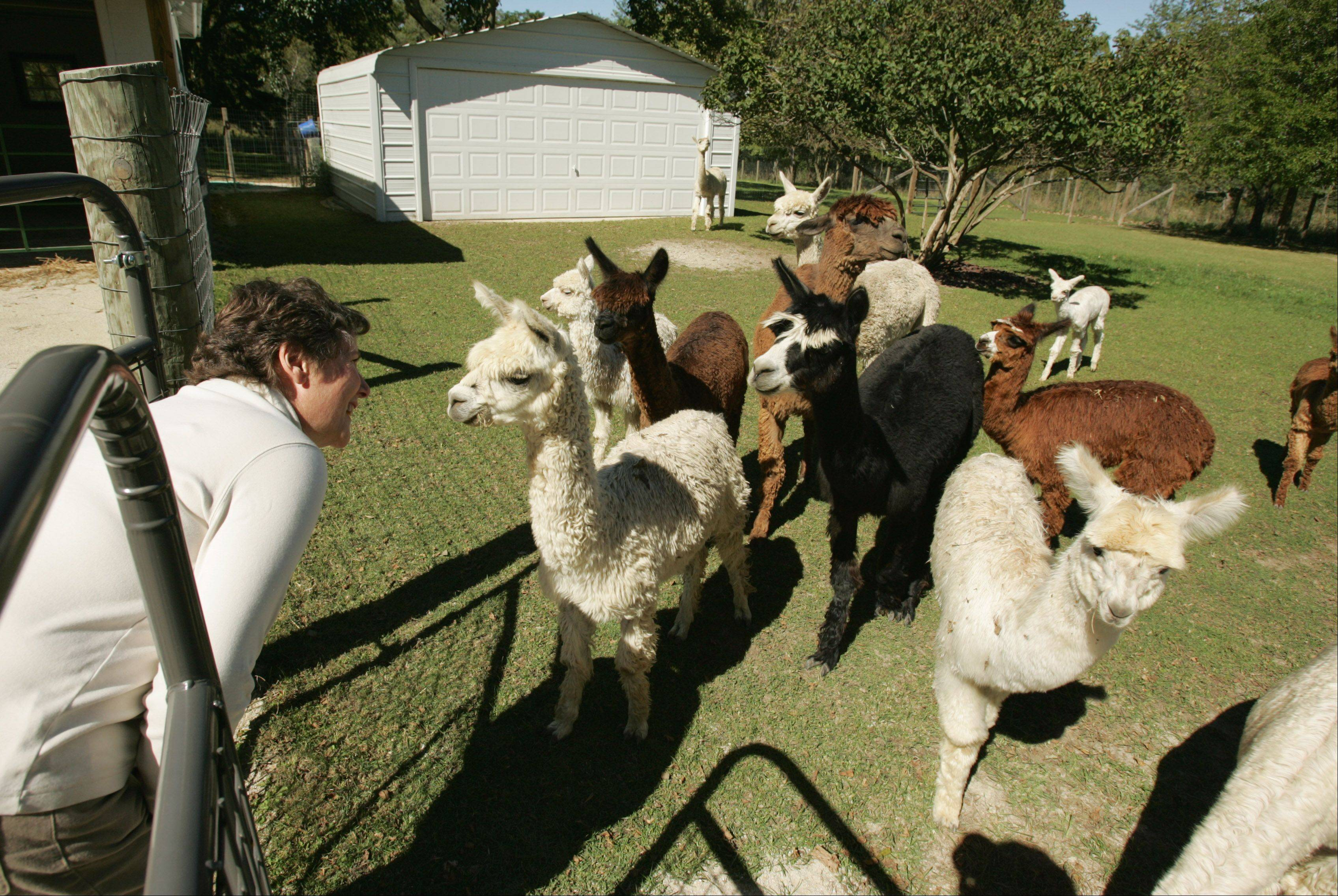 Susan Waldron greets some of her many alpacas on the farm she owns with her husband Ron in Campton Hills. She says alpacas are gentle and somewhat shy and not difficult to raise.