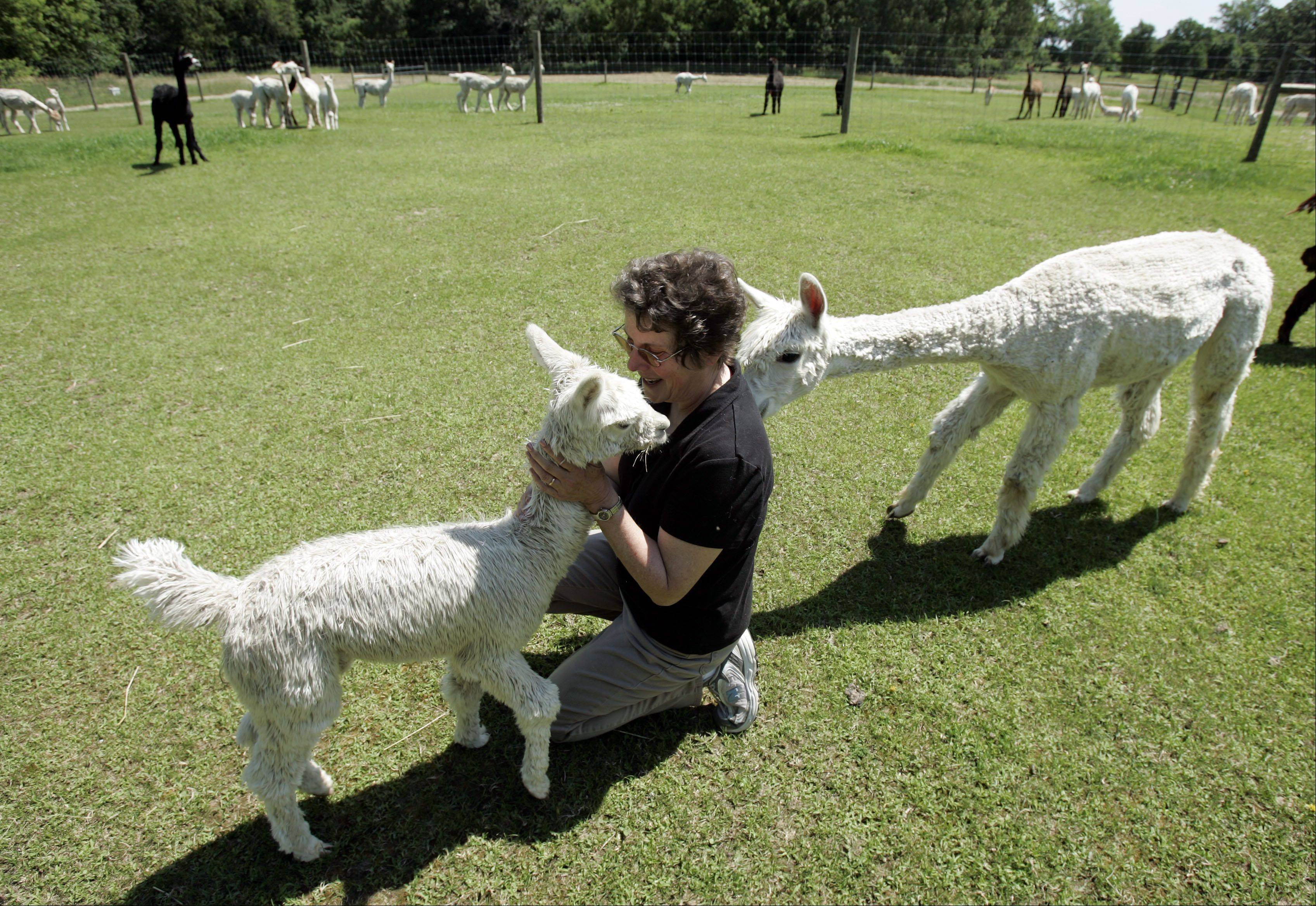 Susan Waldron says alpacas are affectionate on their own terms, like cats, and will come up and nuzzle you if they like you.