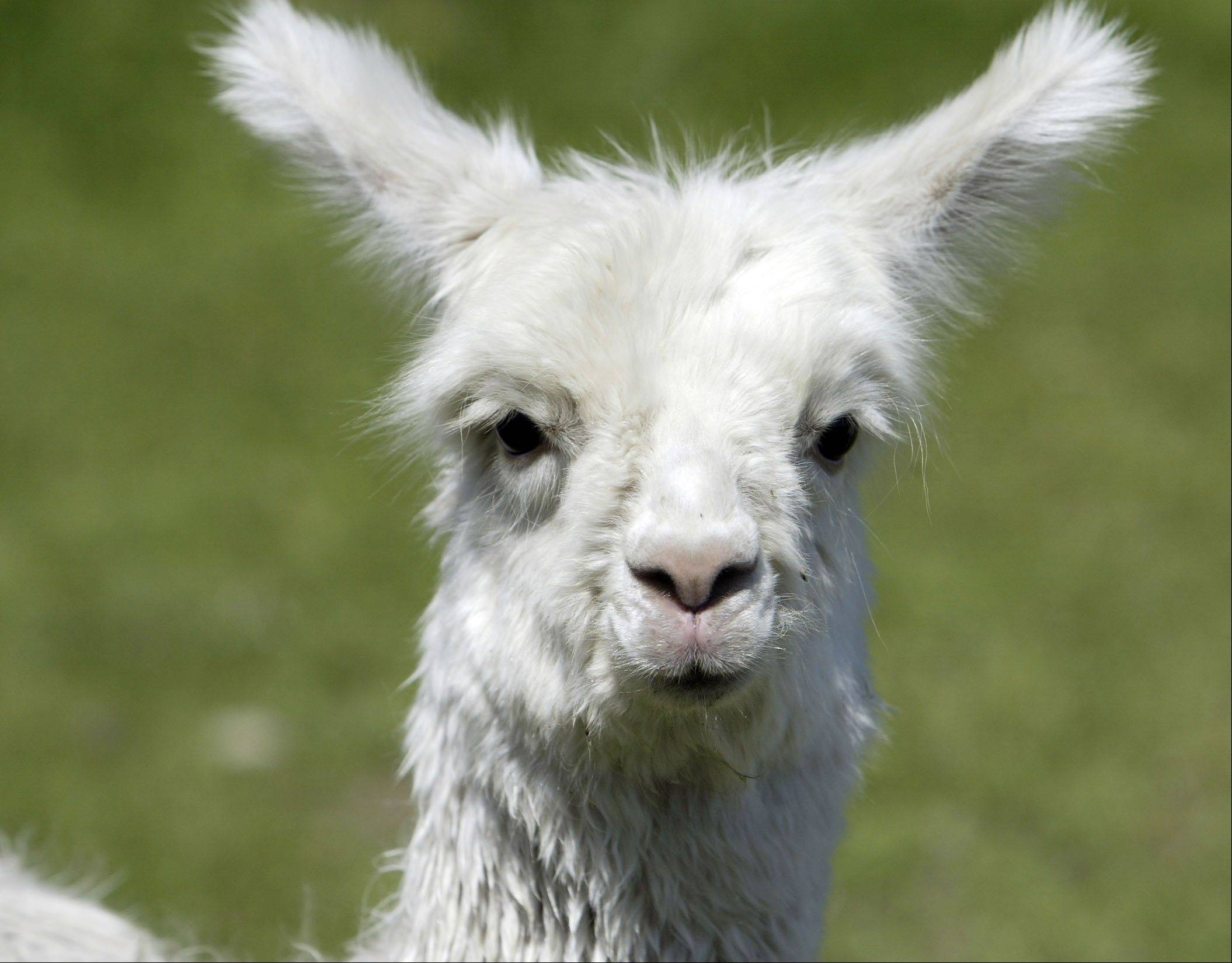 Alpacas will be available to purchase -- or just look at -- at this weekend's open house at Waldron Grove Alpaca Farm in Campton Hills.