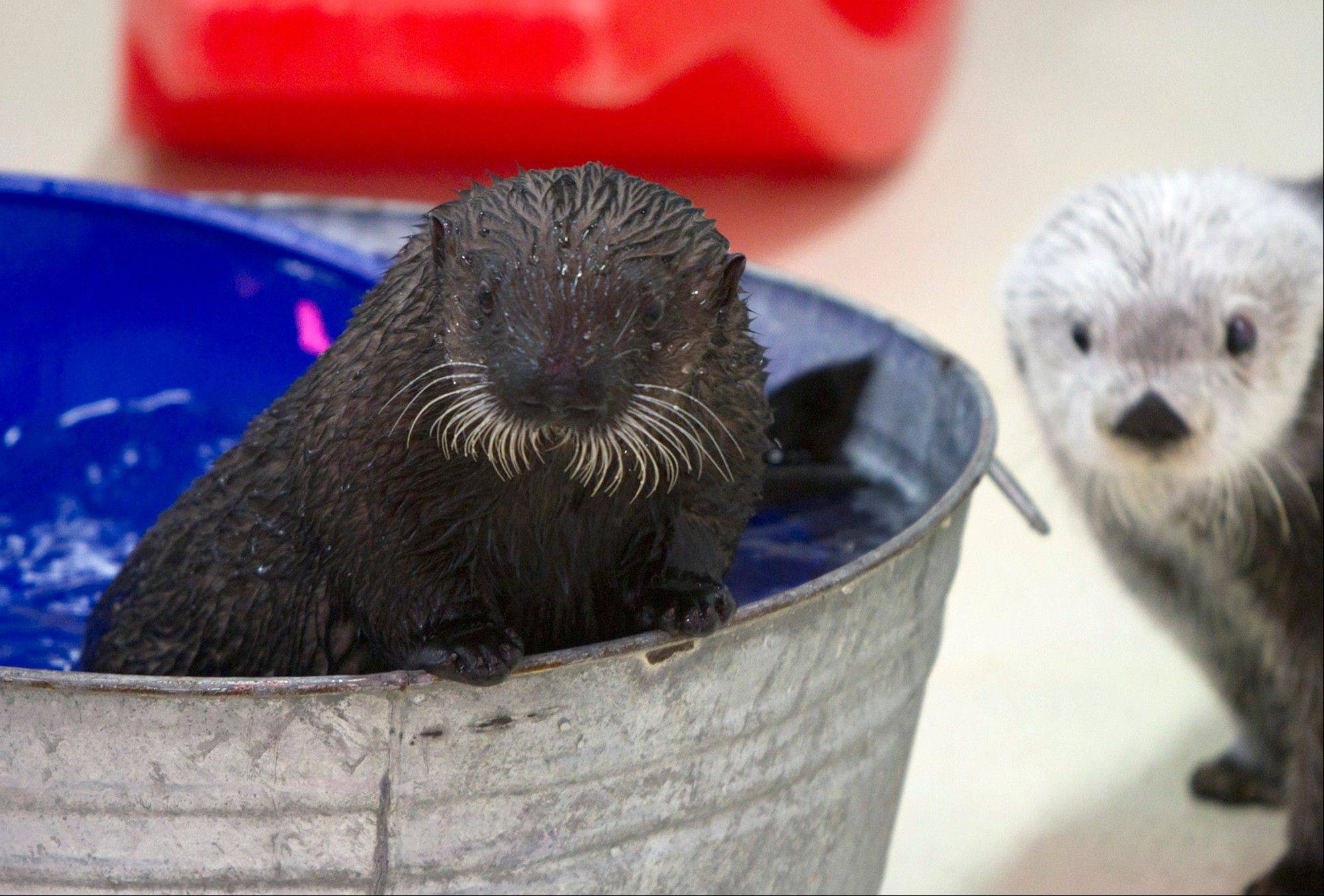 Cayucos, an orphaned sea otter pup, at her first public appearance at Shedd Aquarium Thursday.
