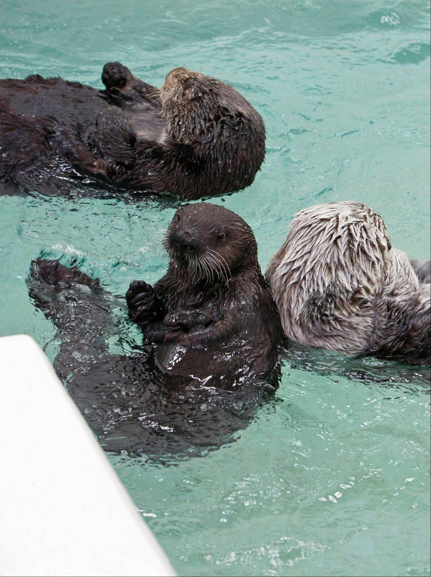 Cayucos swims with other otters as she makes her first public appearance at the aquarium's Abbott Oceanarium.