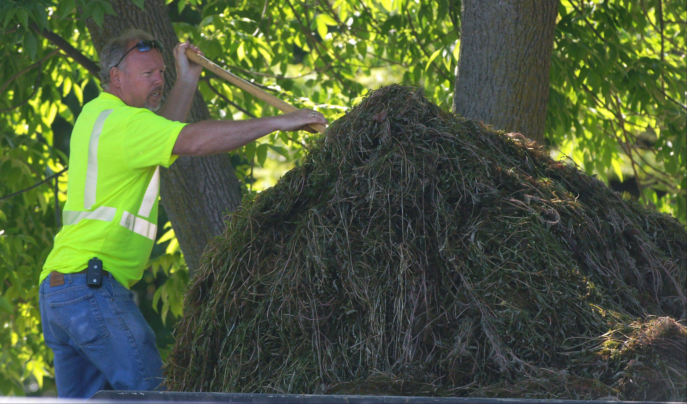 A pile of milfoil and curly leaf pond weed is prepared for transport from Bangs Lake following a harvest by Bob Garrod of the Wauconda Public Works department.