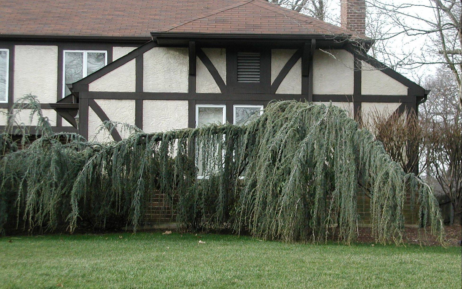 Weeping Willows create a groundcover with the branches that will never be higher than a few feet above the ground.