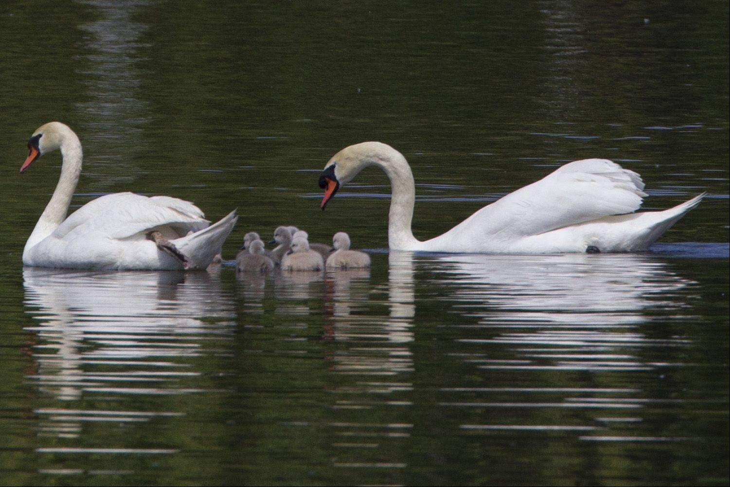 Louis and Serena watch over their eight babies in the Schaumburg municipal pond.