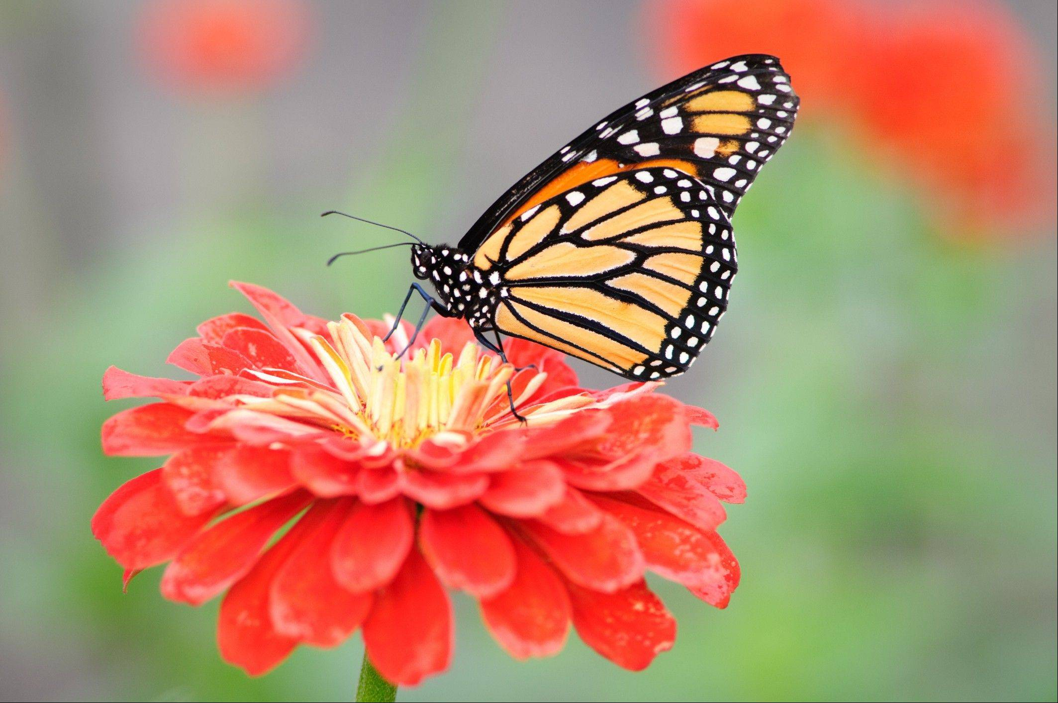 The Chicago Botanic Garden in Glencoe opens up its Butterflies & Blooms outdoor garden on Saturday, June 2.