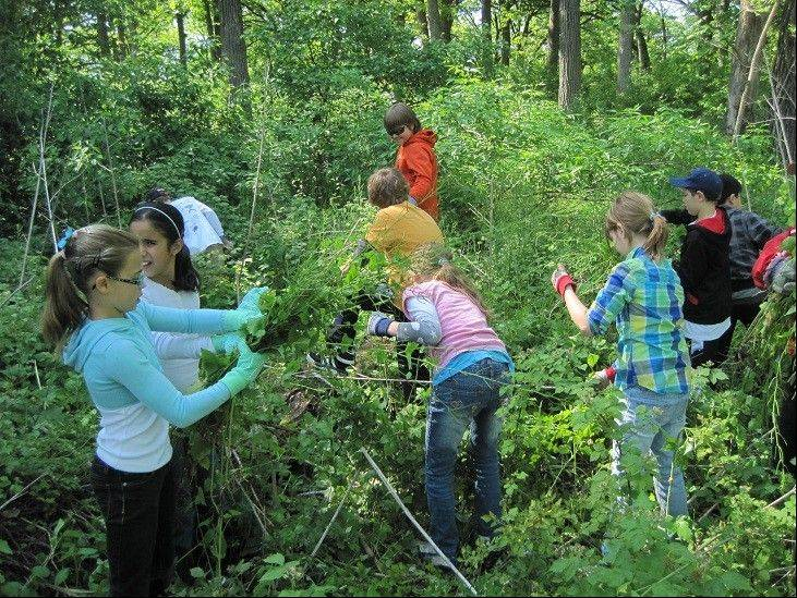 Barrington fifth-graders work with Citizens for Conservation volunteers to rid two area savannas from invasive garlic mustard weeds.