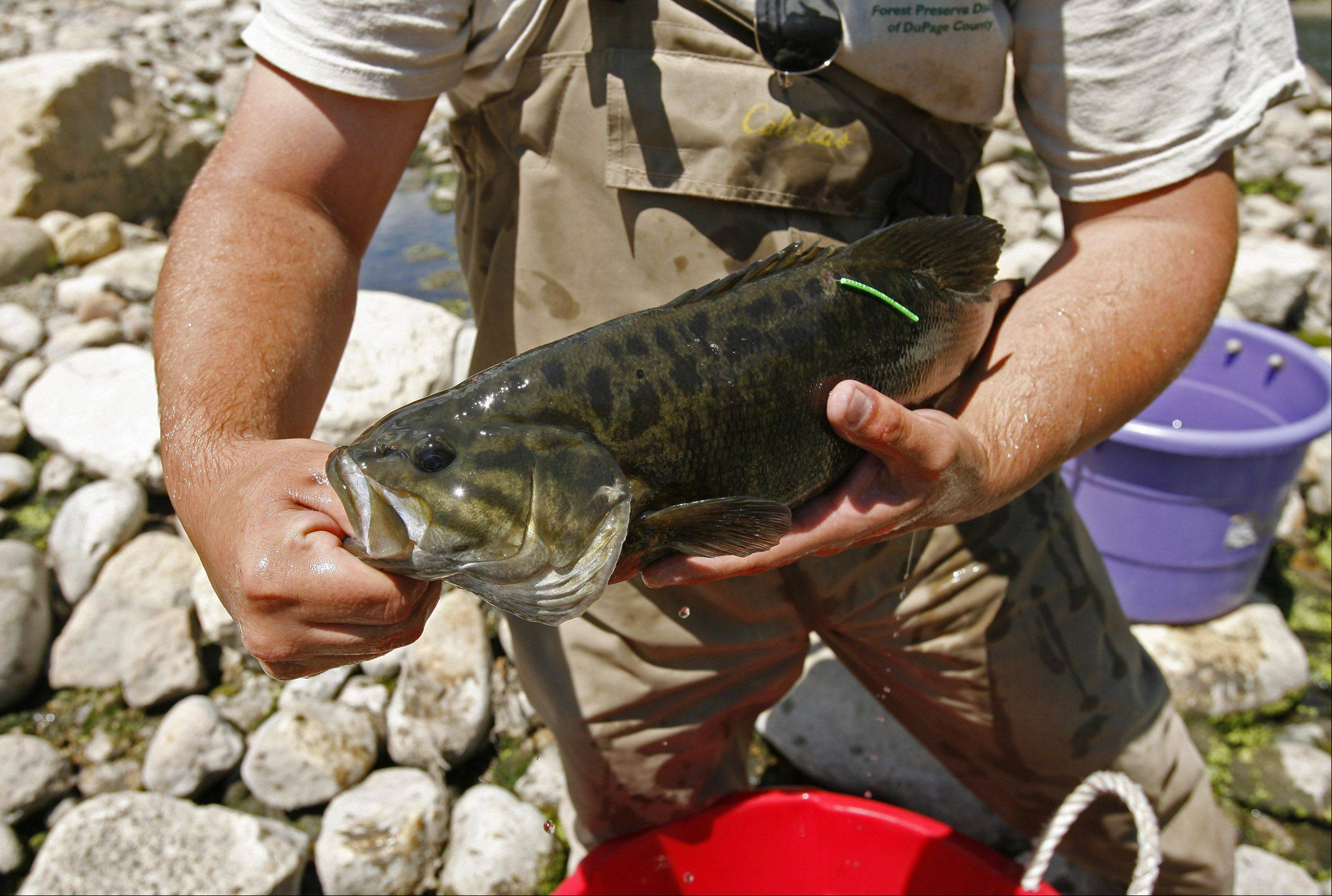 Aquatic technician Jim Intihar prepares to release a smallmouth bass at the Warrenville Grove Forest Preserve.