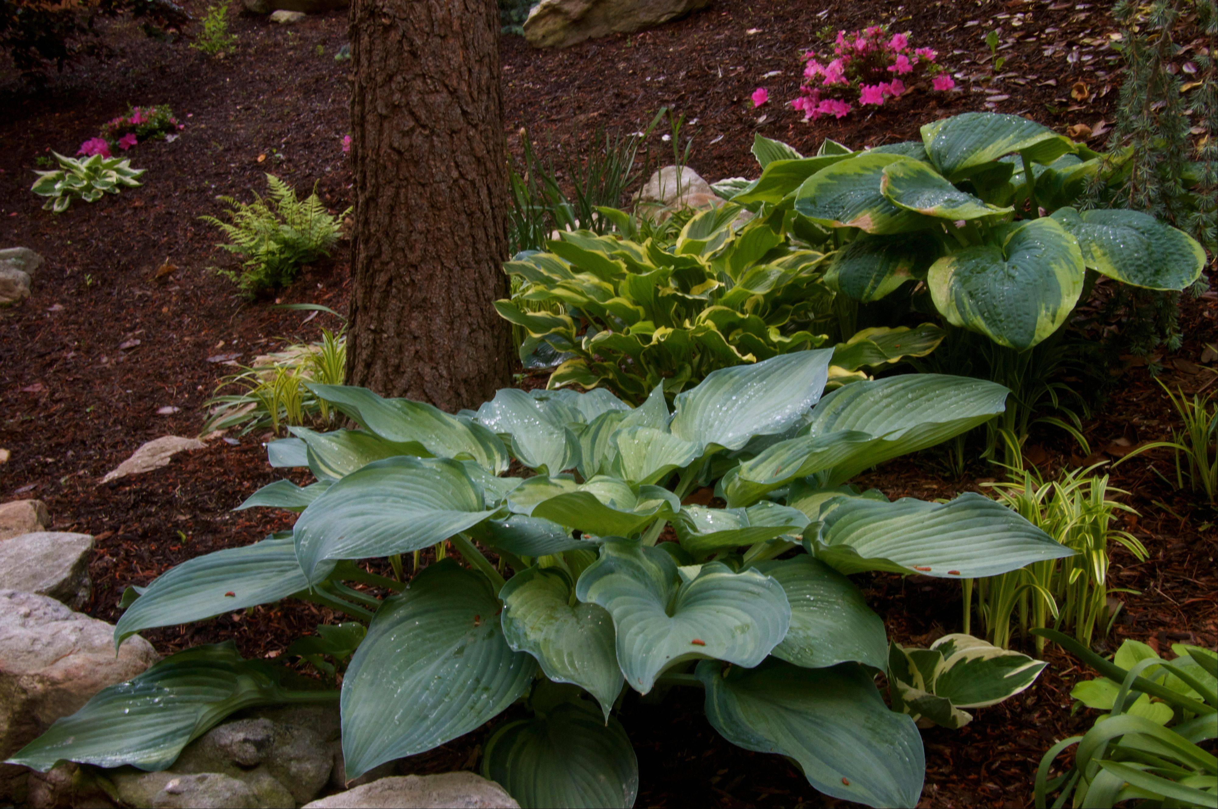 Hostas are a great multiuse option for growers who like flowers that taste as good as they look. Their blooms can be used to enhance the family menu along with other such appetizing ornamentals as day lilies, dandelions, marigolds and begonias.
